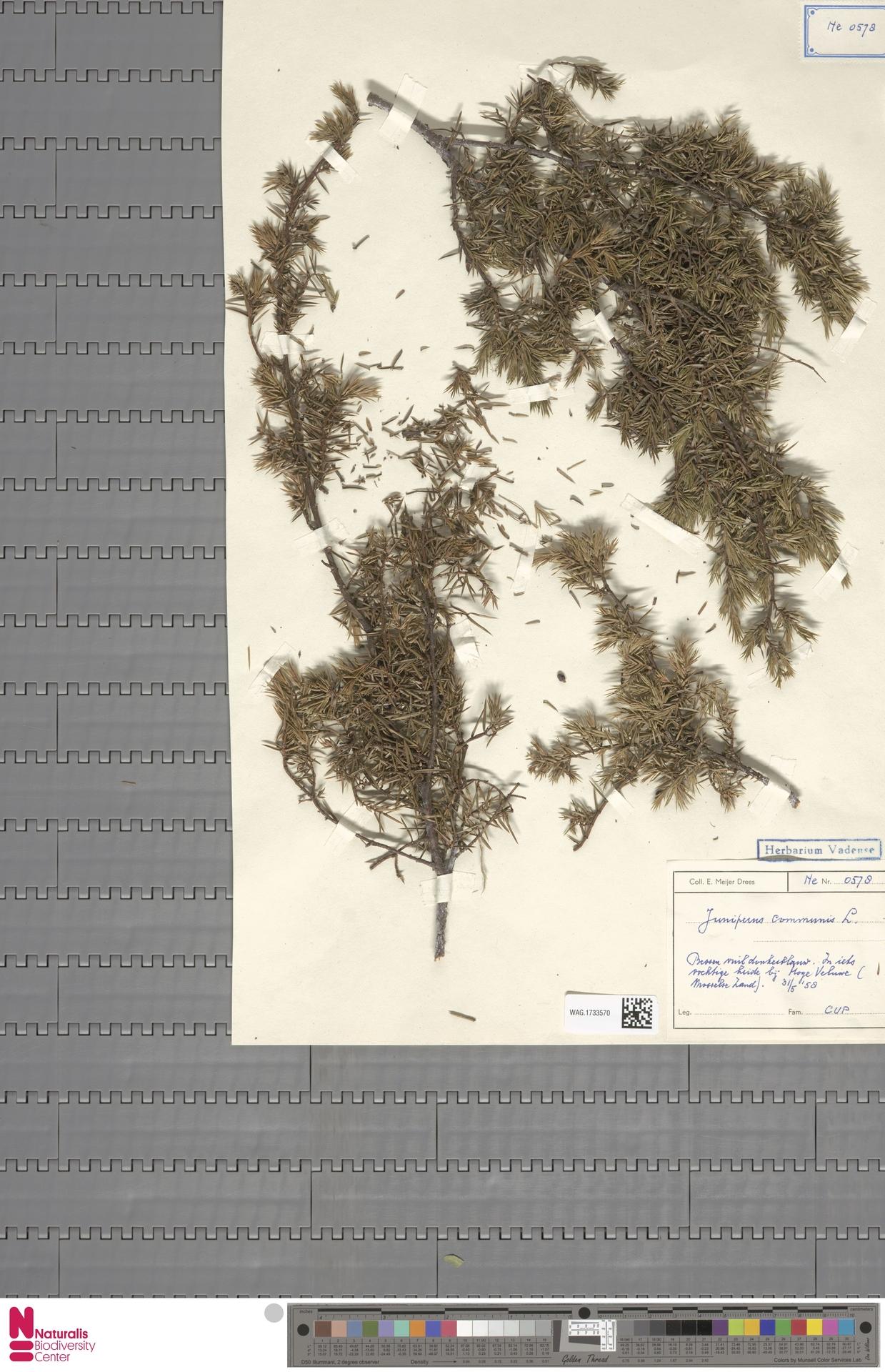 WAG.1733570 | Juniperus communis L.