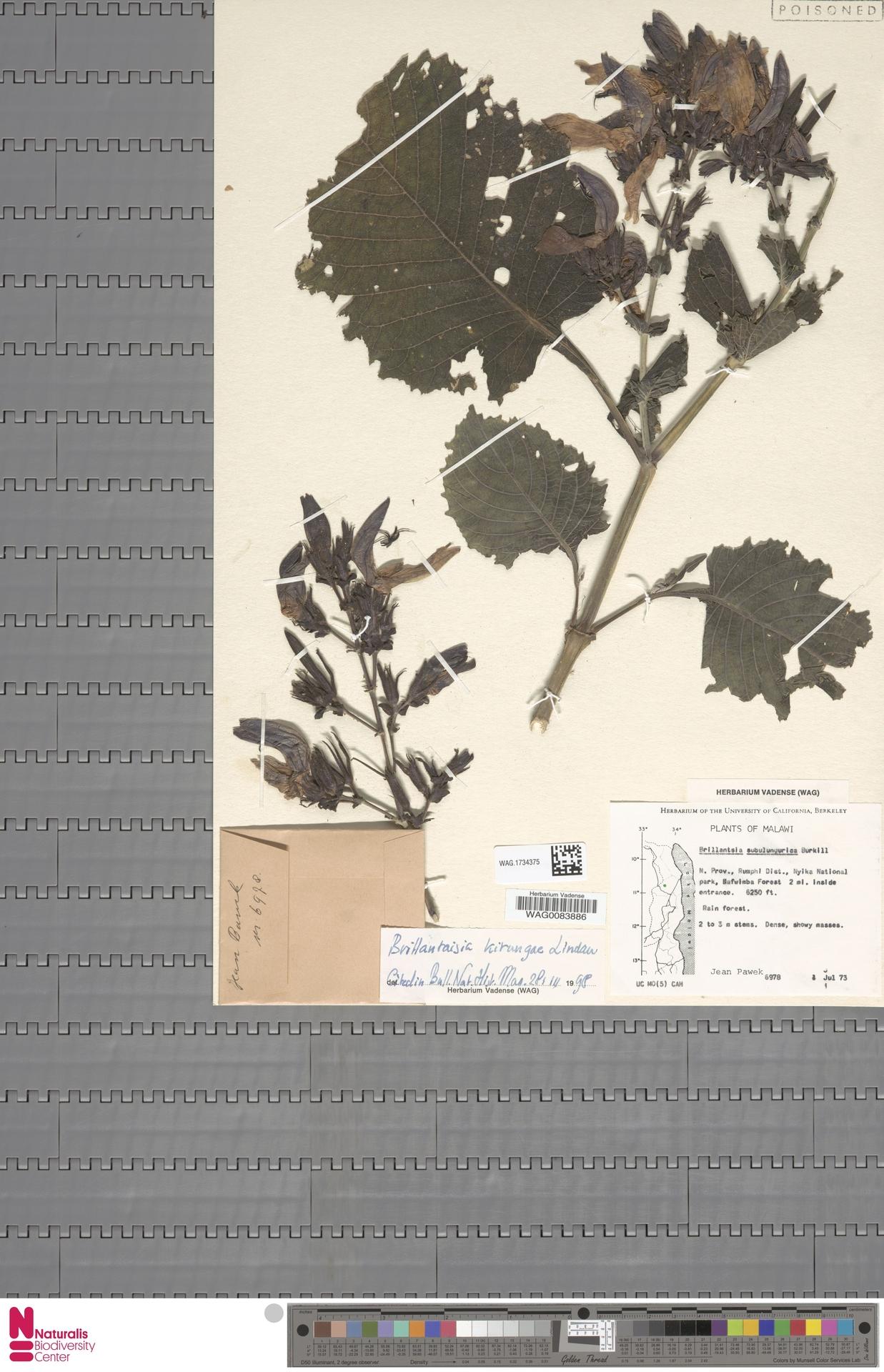 WAG.1734375 | Brillantaisia kirungae Lindau