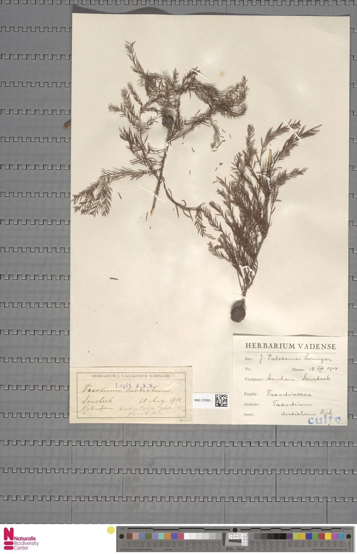 WAG.1737961 | Taxodium distichum (L.) Rich.