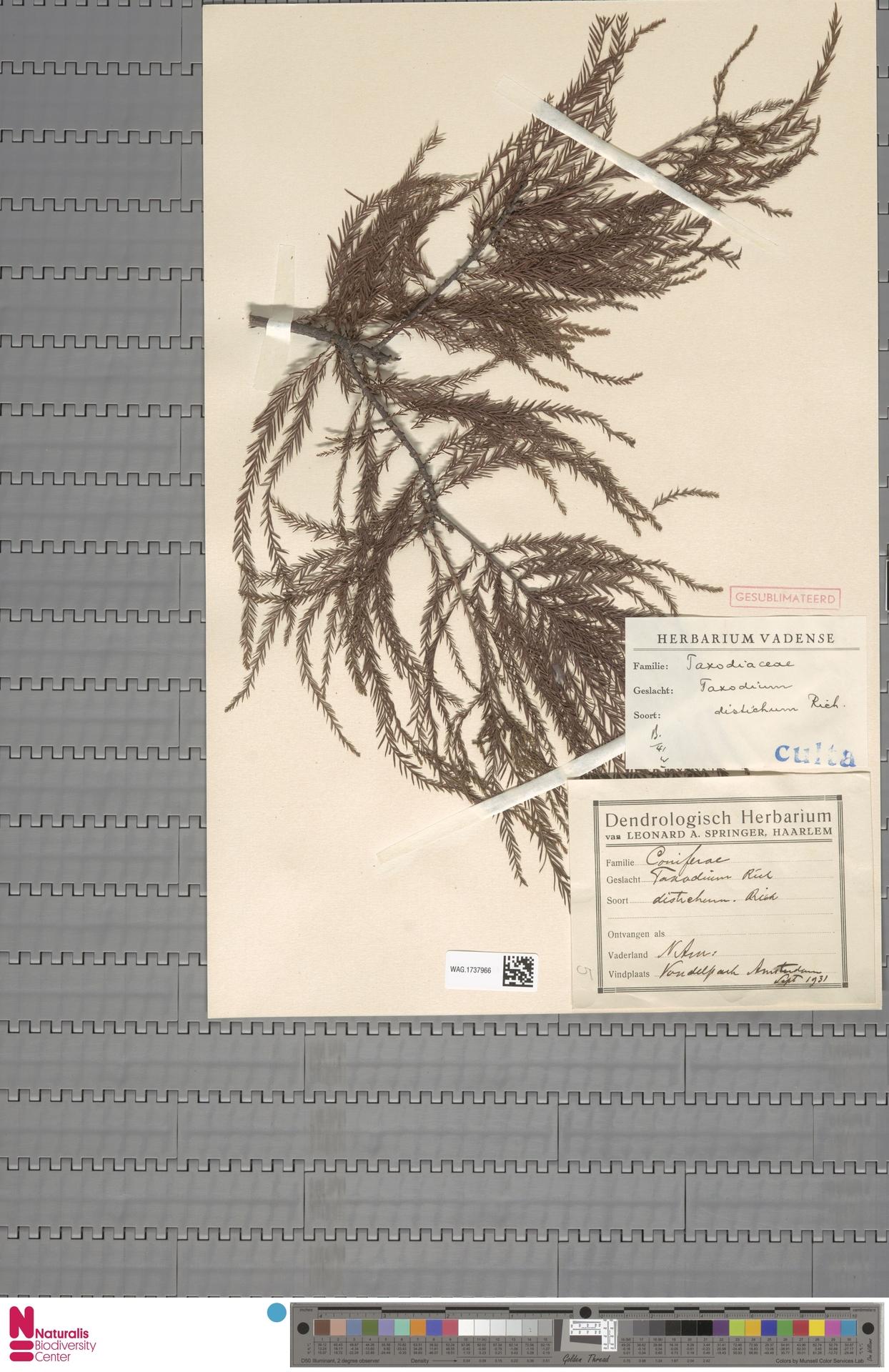 WAG.1737966 | Taxodium distichum (L.) Rich.