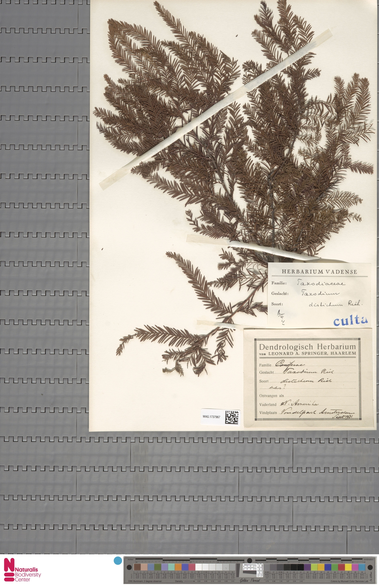 WAG.1737967 | Taxodium distichum (L.) Rich.