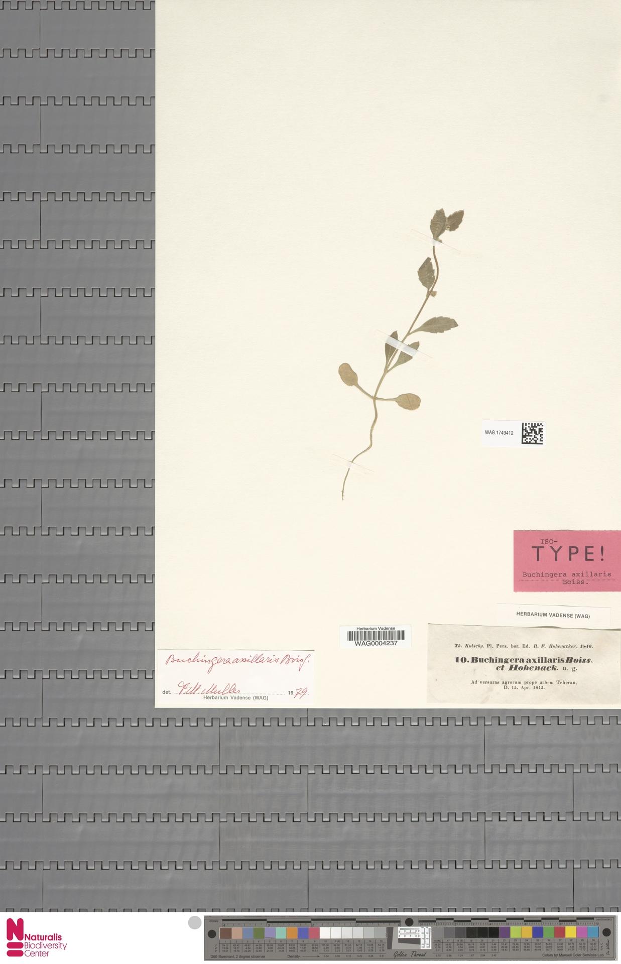 WAG.1749412 | Buchingera axillaris Boiss. & Hohen.
