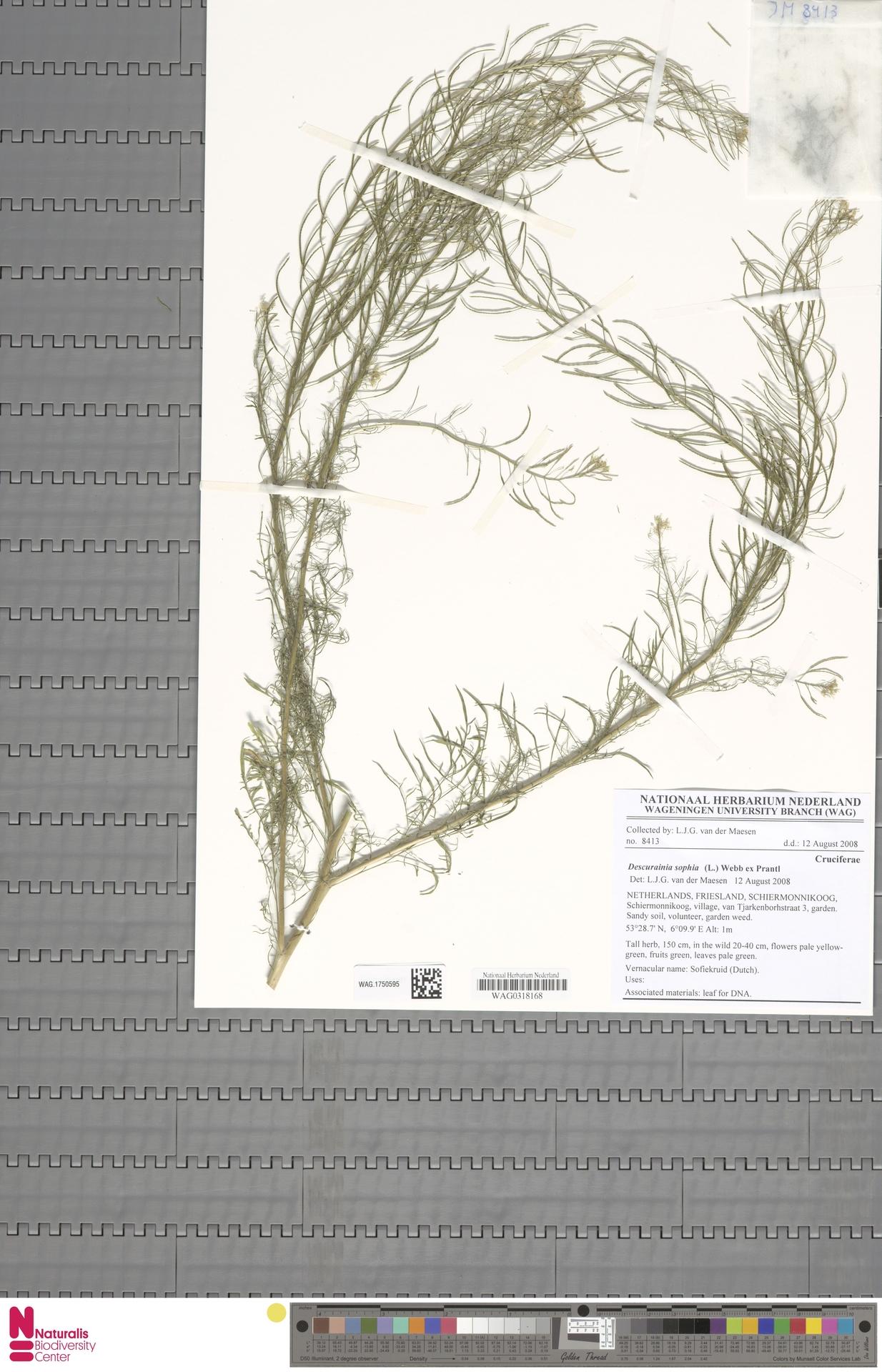 WAG.1750595 | Descurainia sophia (L.) Webb ex Prantl