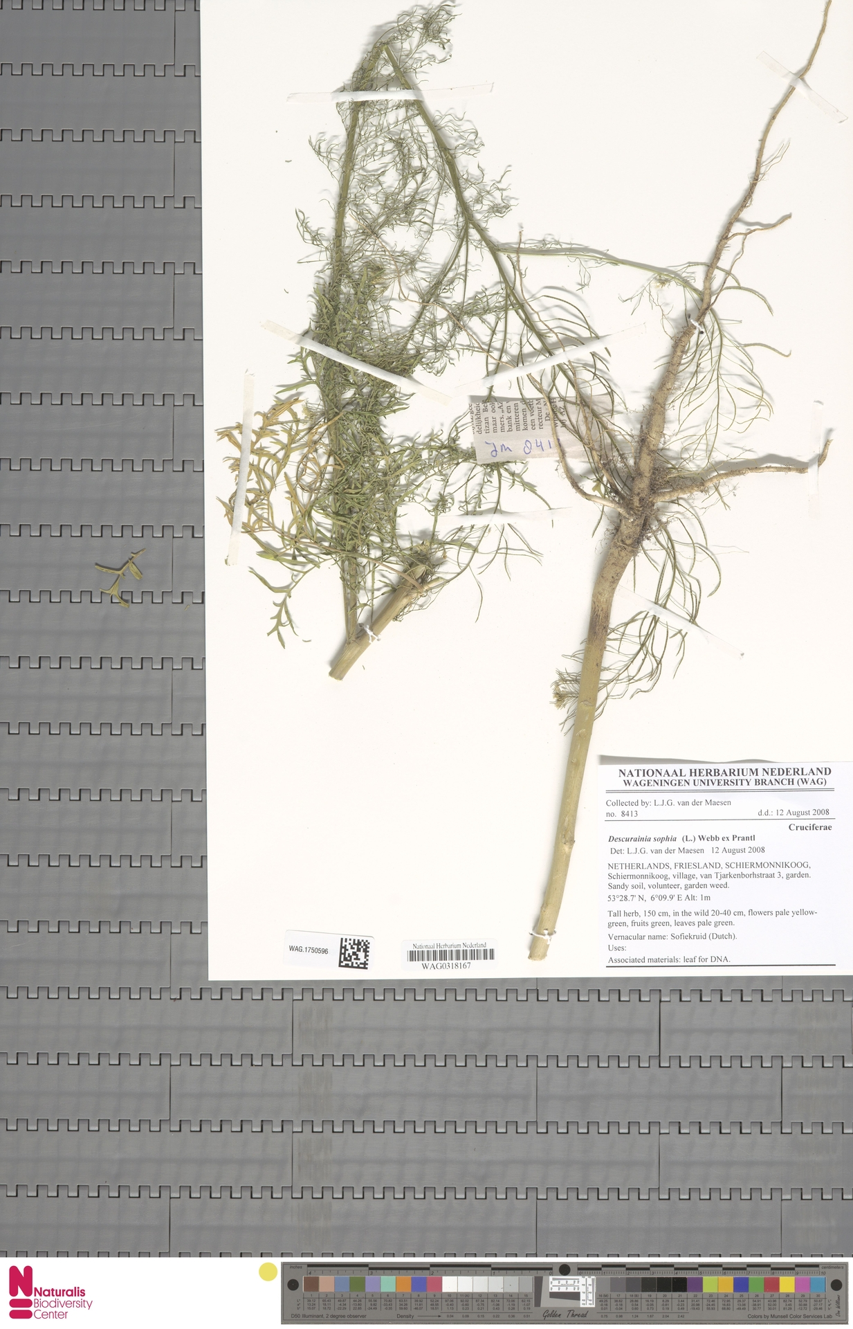 WAG.1750596 | Descurainia sophia (L.) Webb ex Prantl