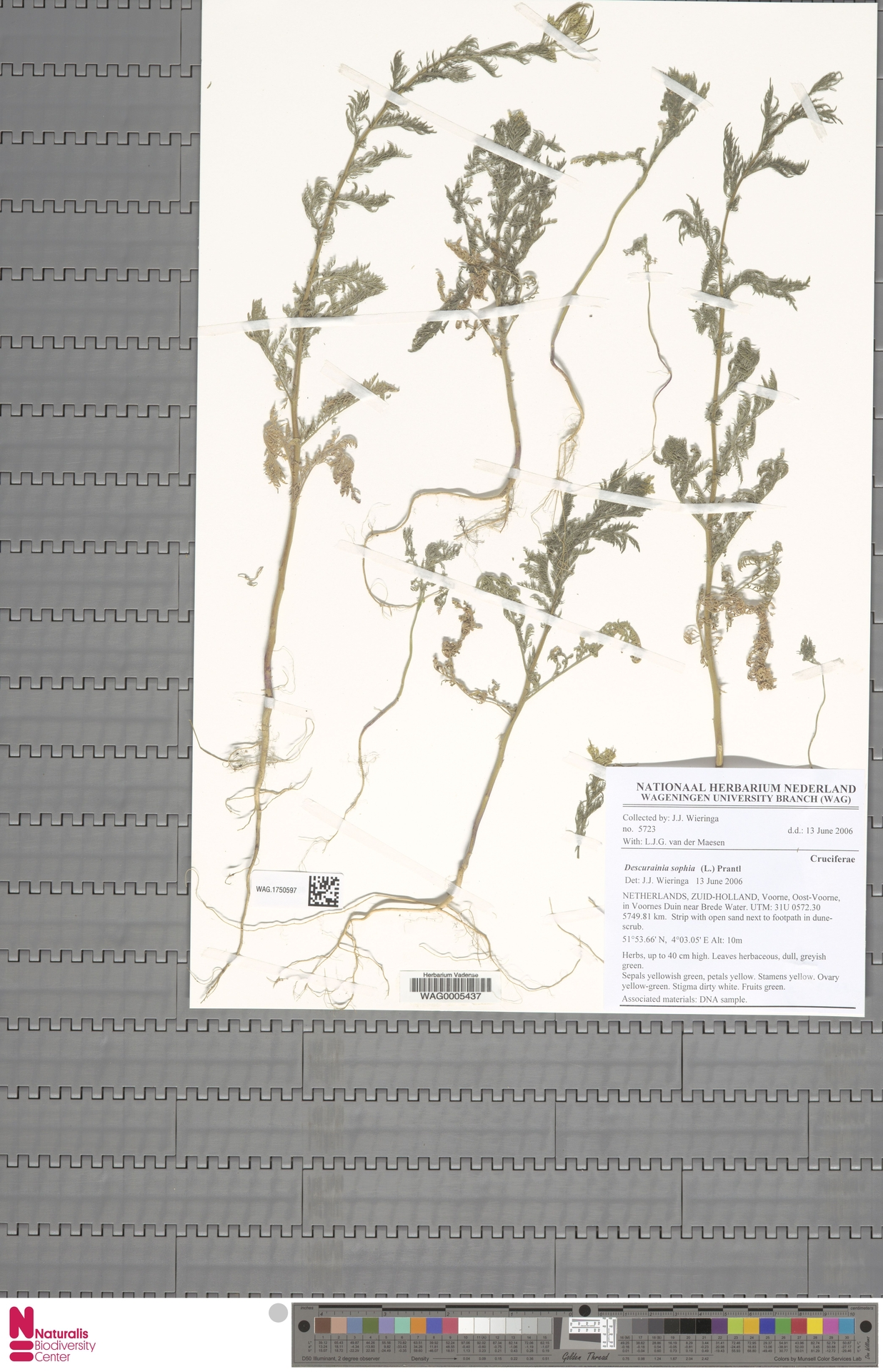 WAG.1750597 | Descurainia sophia (L.) Webb ex Prantl