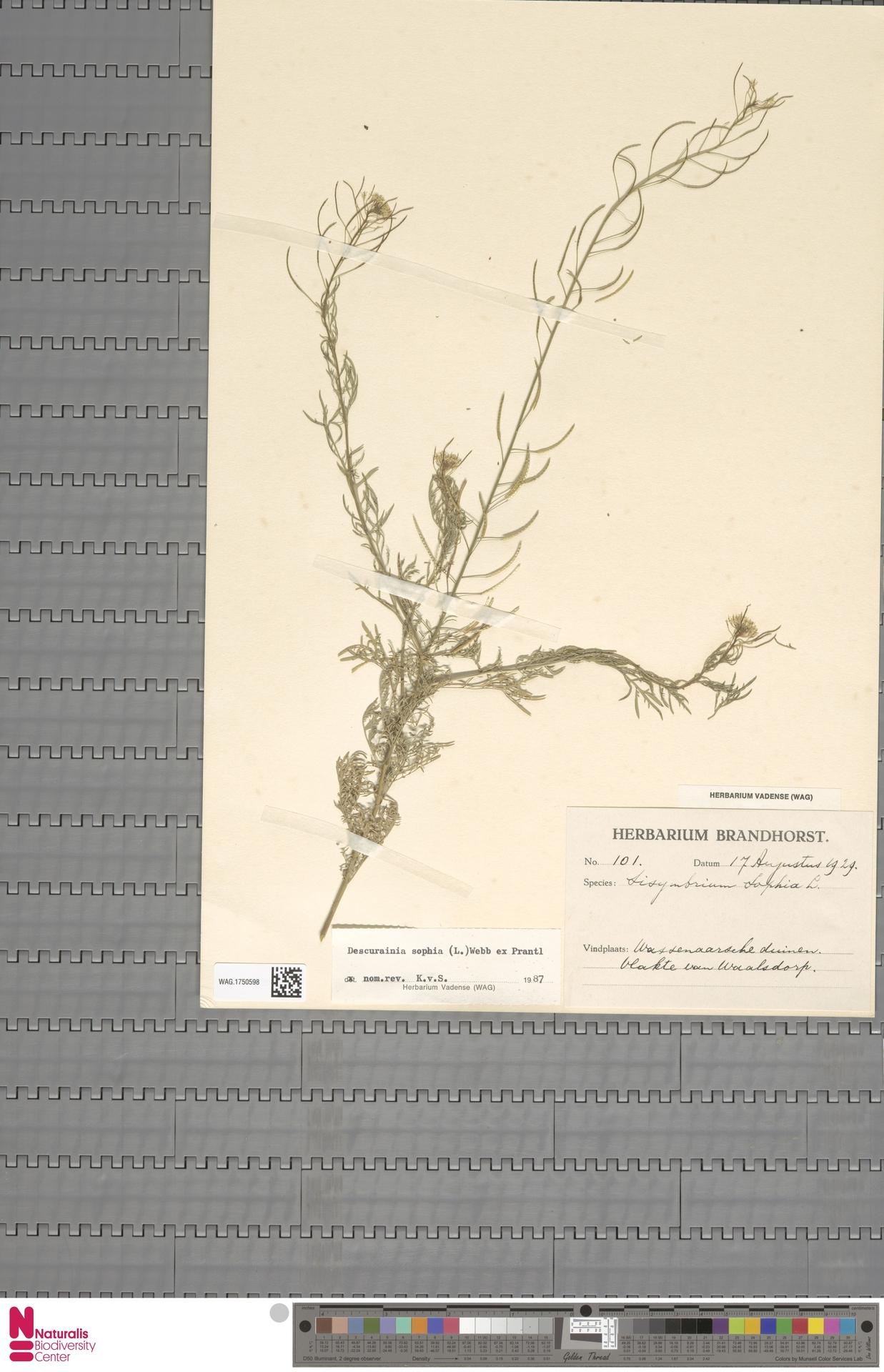 WAG.1750598 | Descurainia sophia (L.) Webb ex Prantl