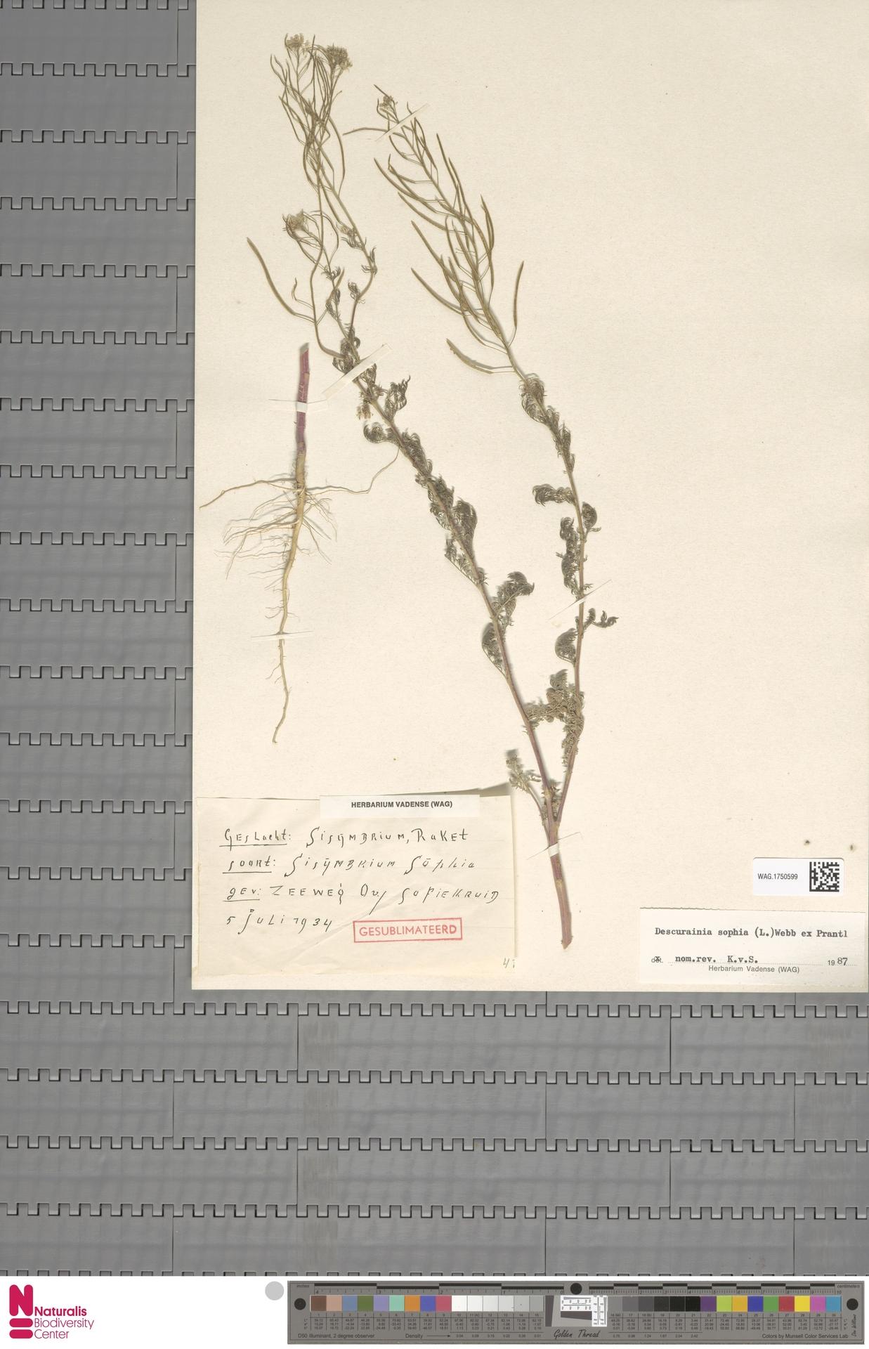 WAG.1750599 | Descurainia sophia (L.) Webb ex Prantl
