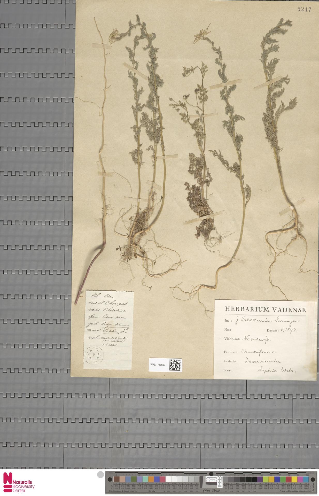 WAG.1750600 | Descurainia sophia (L.) Webb ex Prantl