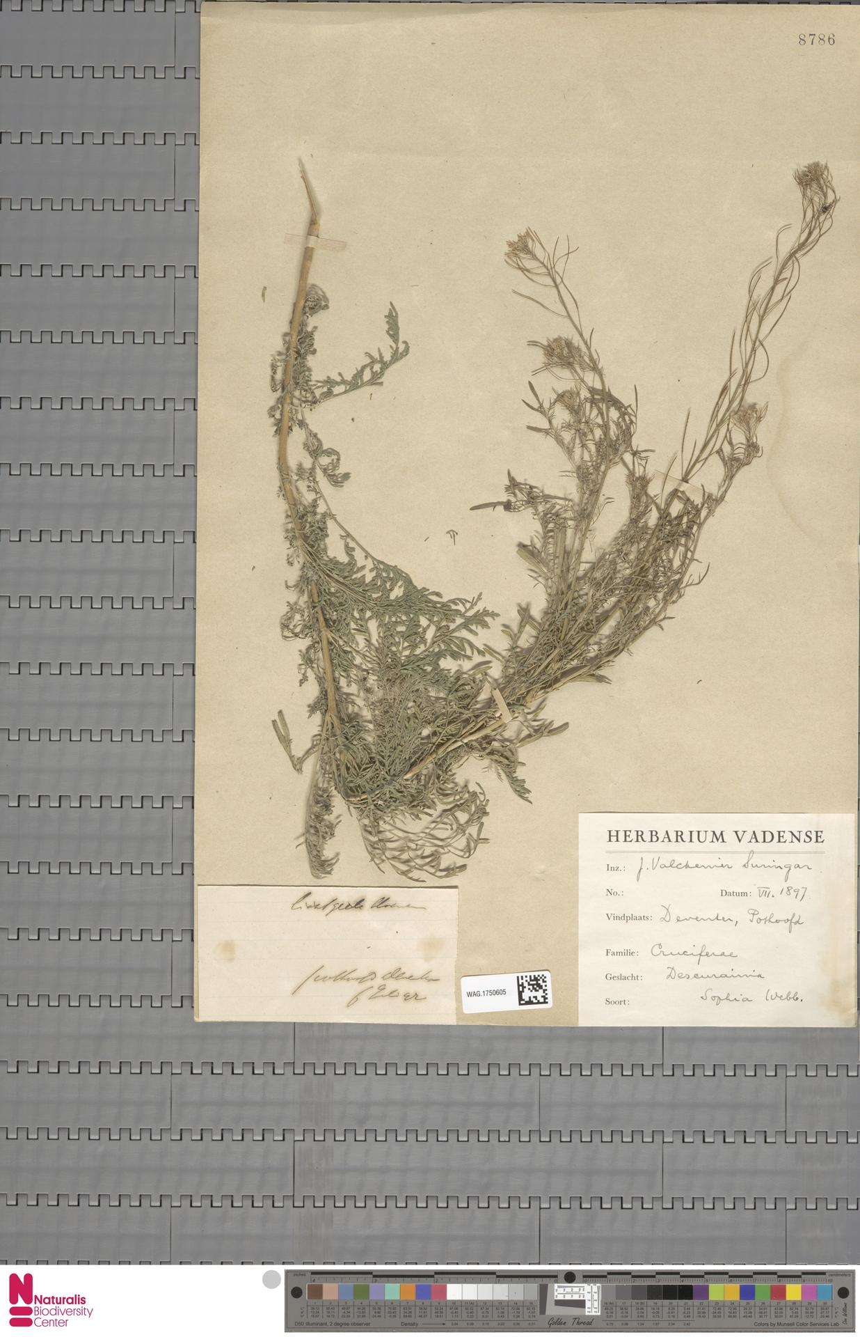 WAG.1750605 | Descurainia sophia (L.) Webb ex Prantl