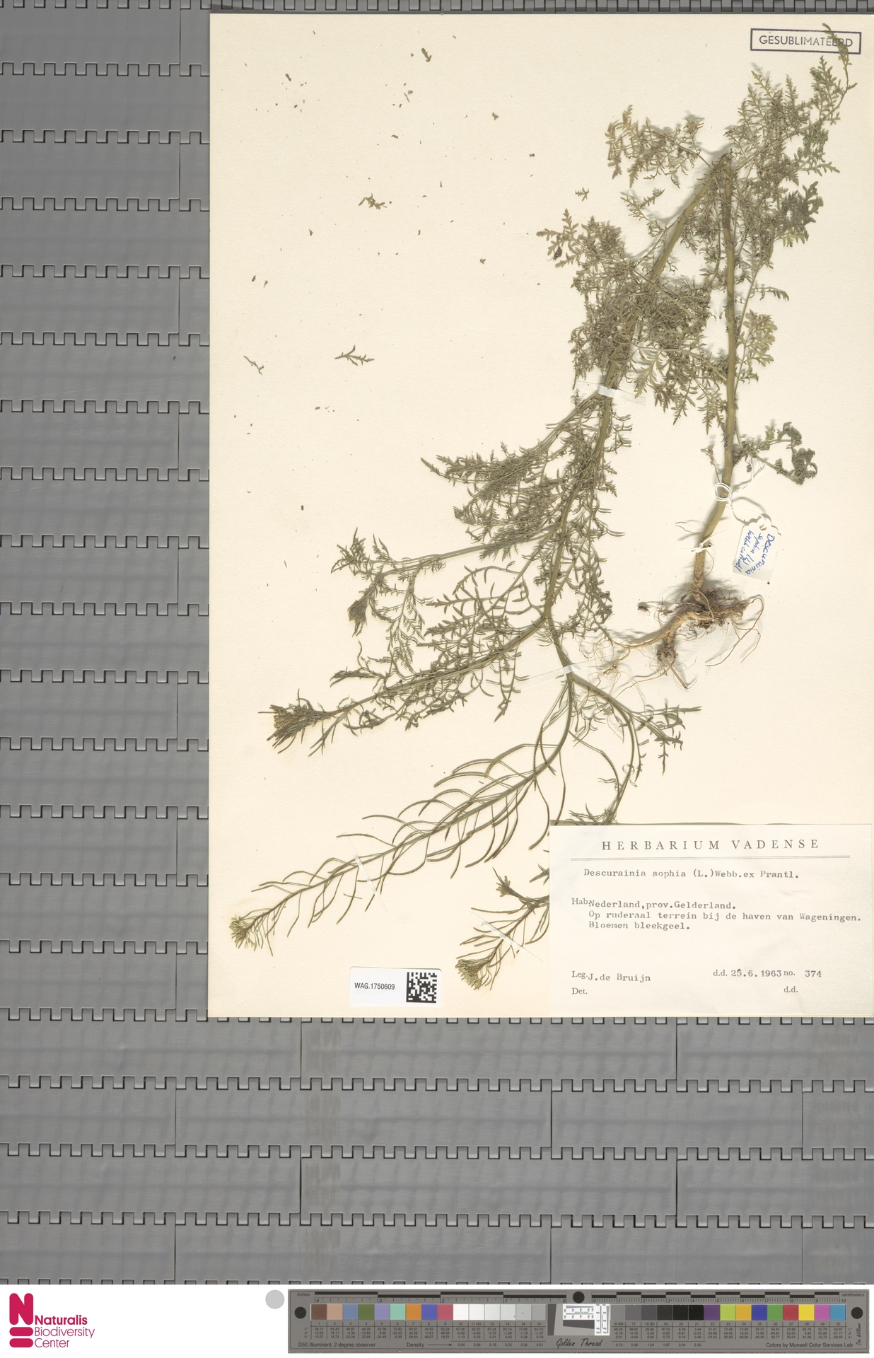 WAG.1750609 | Descurainia sophia (L.) Webb ex Prantl
