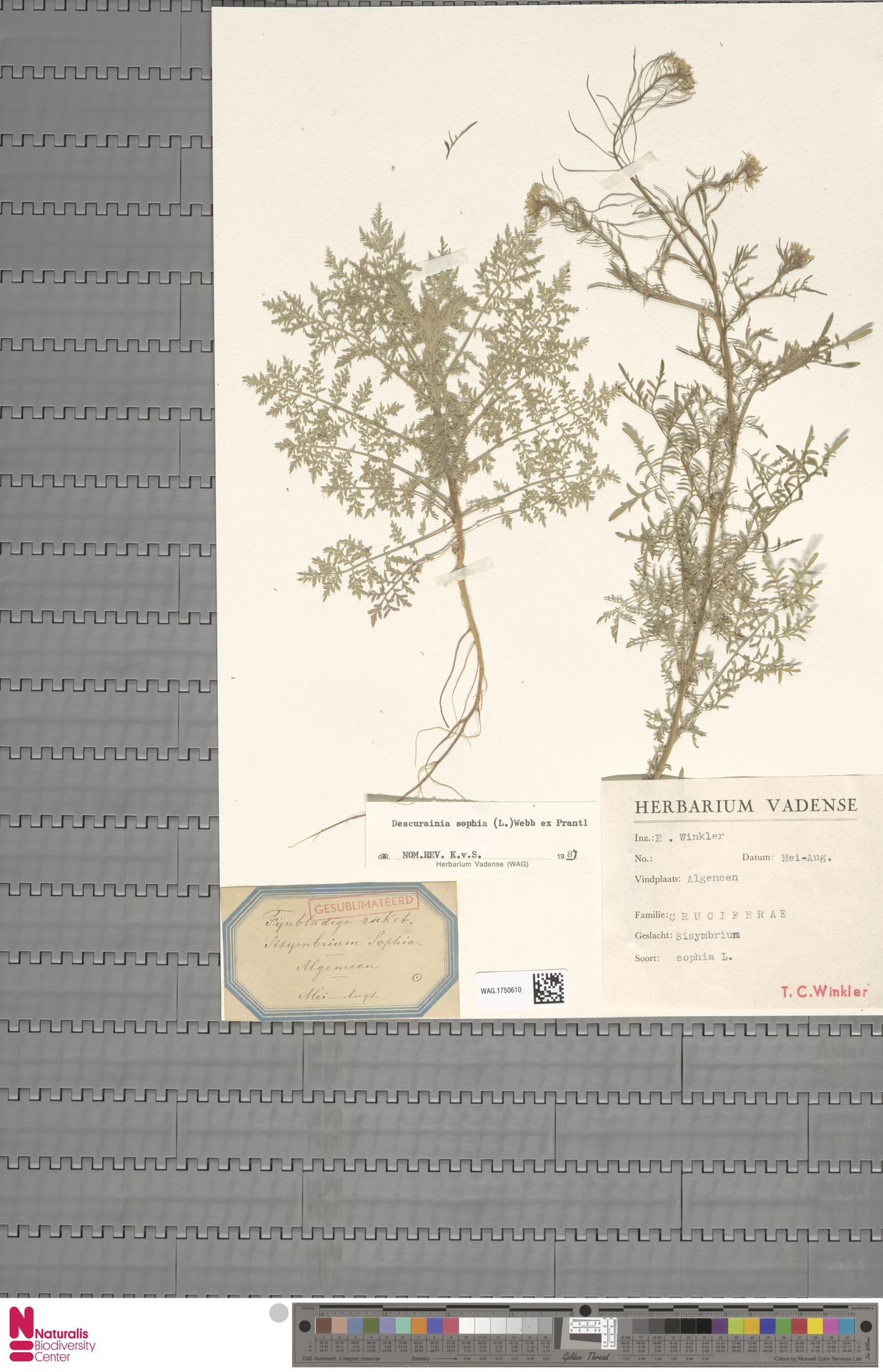 WAG.1750610 | Descurainia sophia (L.) Webb ex Prantl