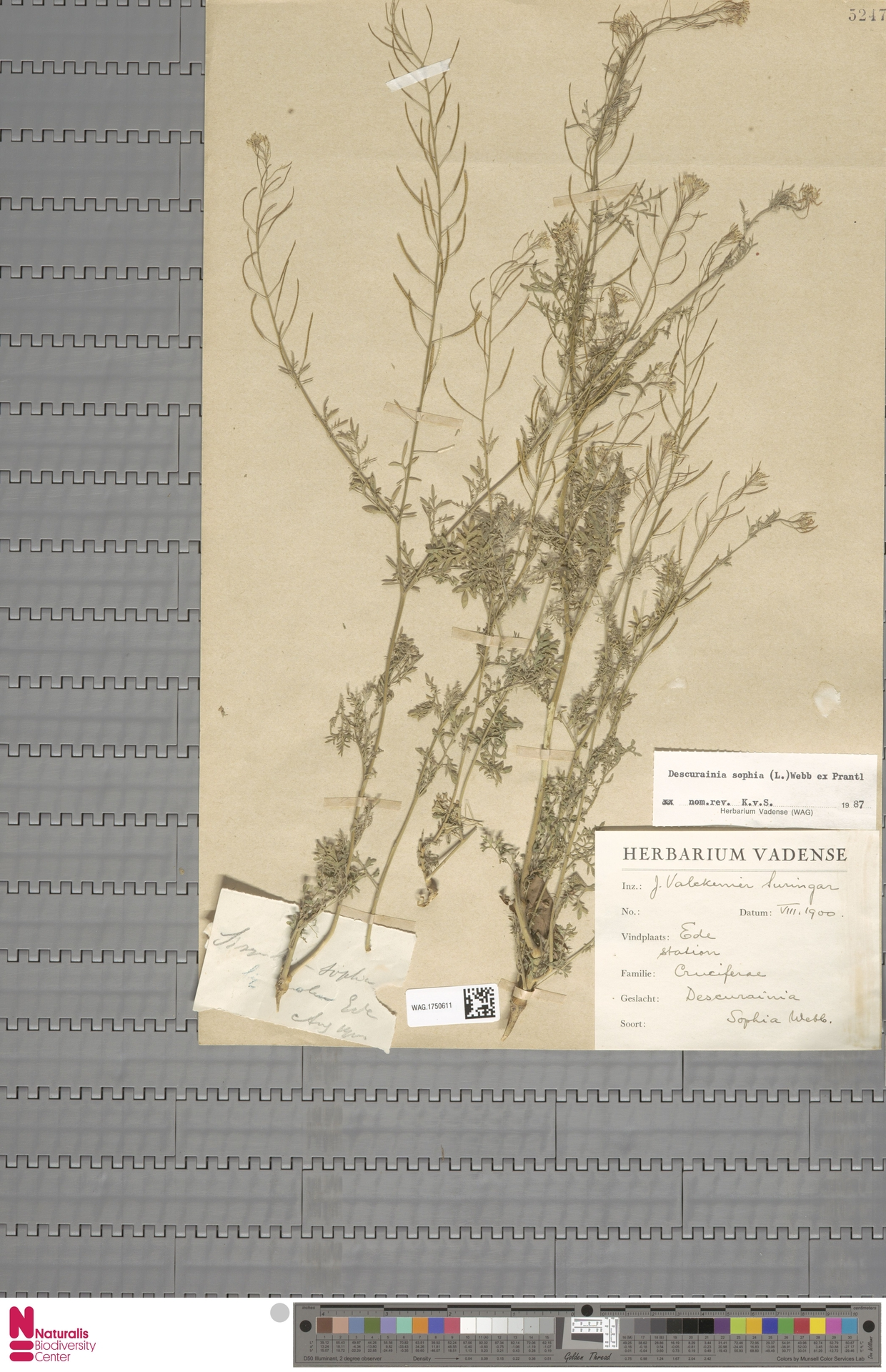 WAG.1750611 | Descurainia sophia (L.) Webb ex Prantl