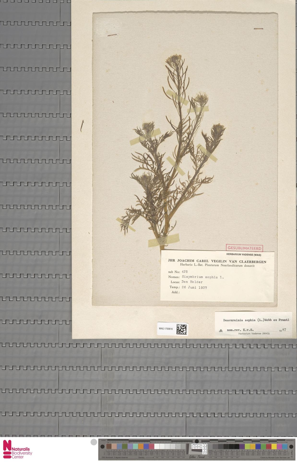 WAG.1750616 | Descurainia sophia (L.) Webb ex Prantl