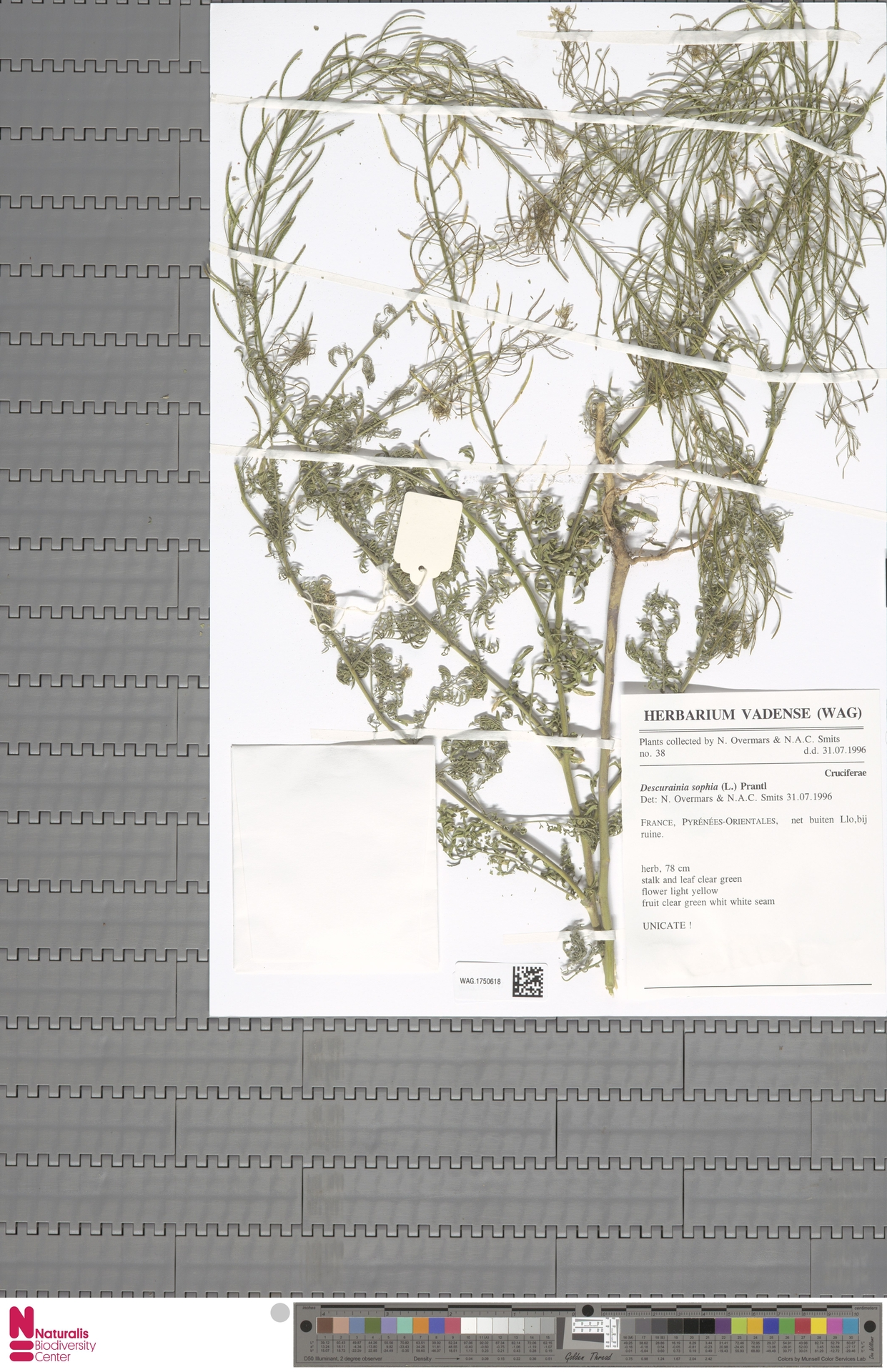 WAG.1750618 | Descurainia sophia (L.) Webb ex Prantl