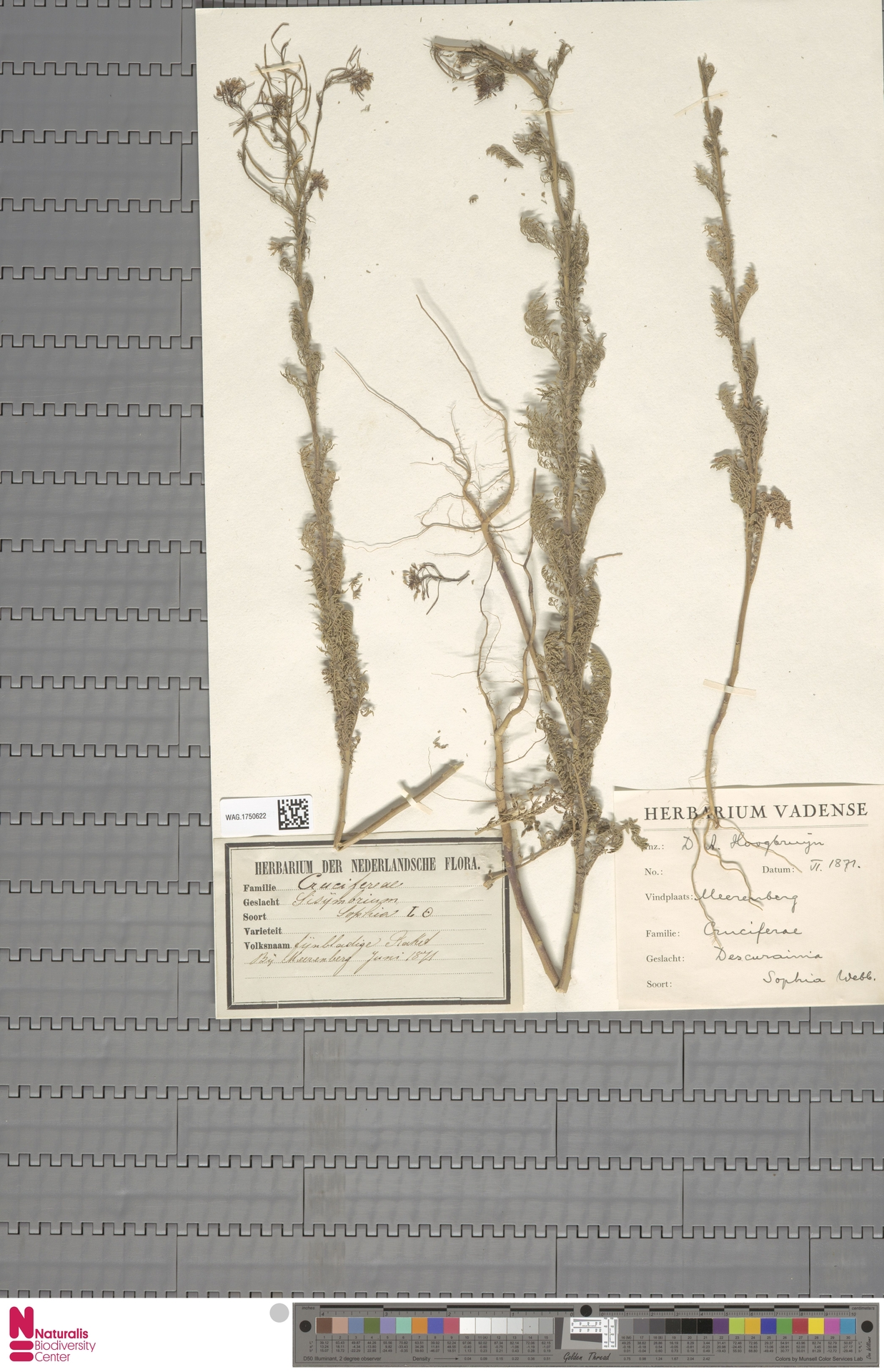WAG.1750622 | Descurainia sophia (L.) Webb ex Prantl