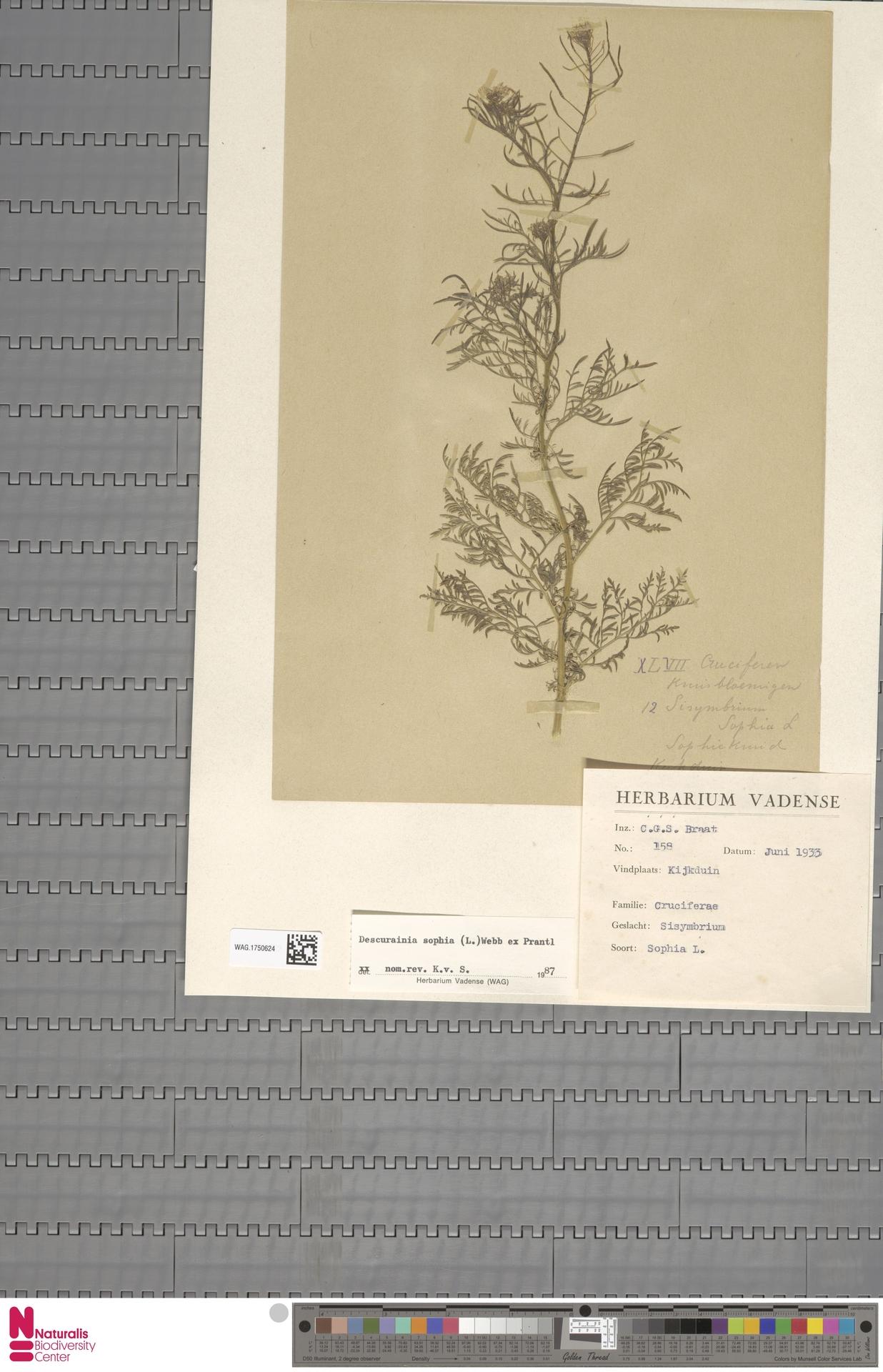 WAG.1750624 | Descurainia sophia (L.) Webb ex Prantl