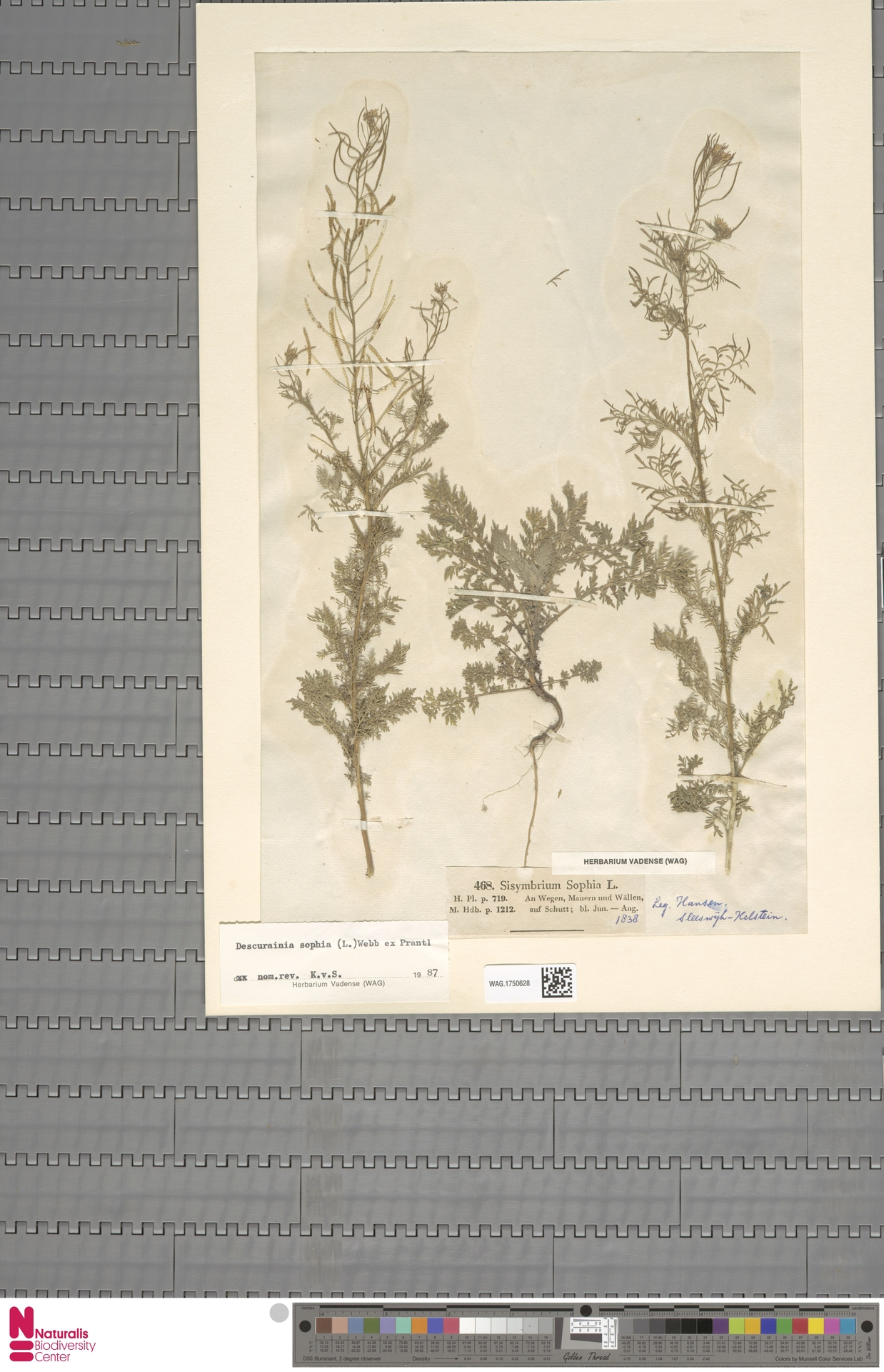 WAG.1750628 | Descurainia sophia (L.) Webb ex Prantl