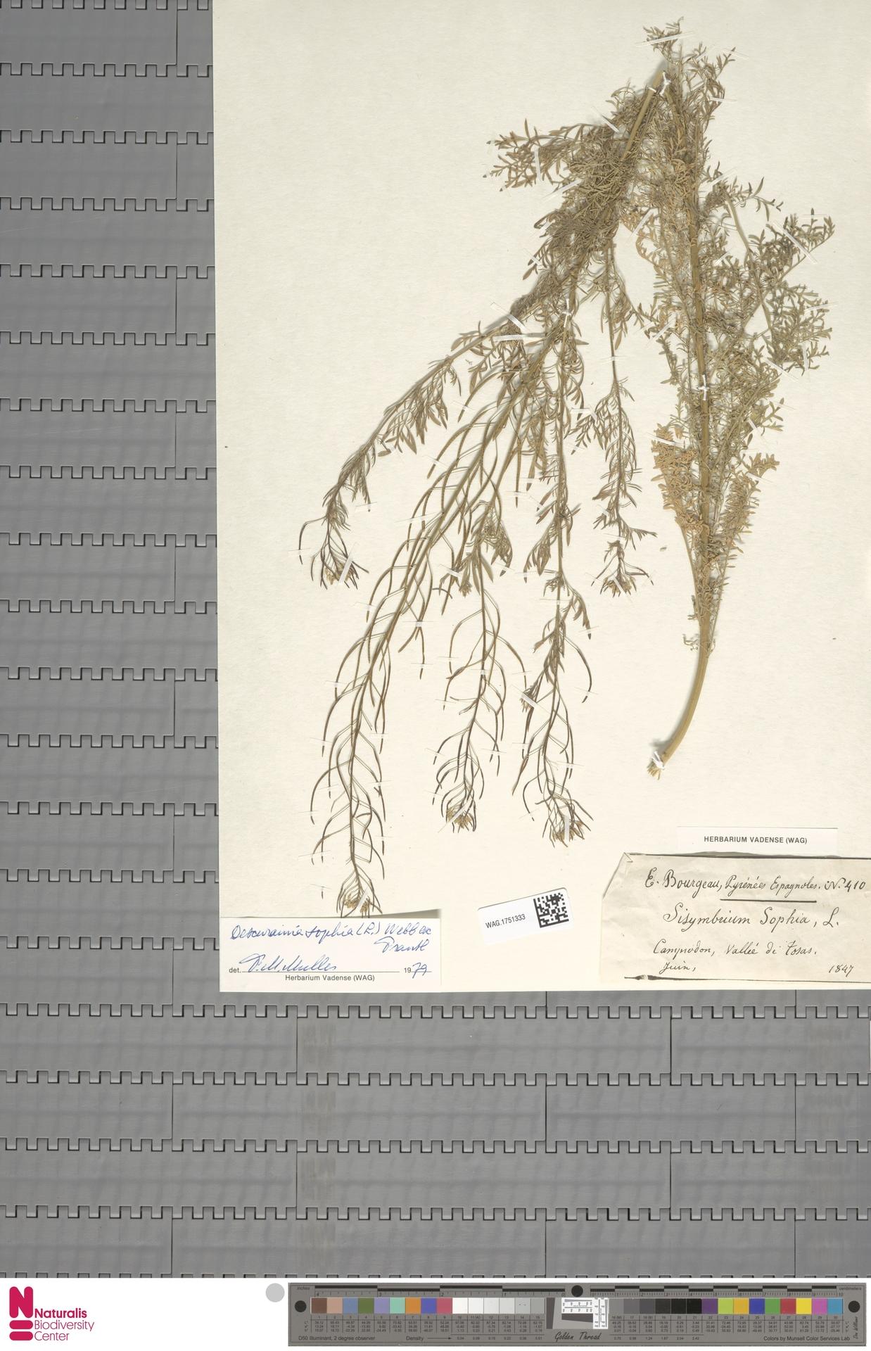 WAG.1751333 | Descurainia sophia (L.) Webb ex Prantl