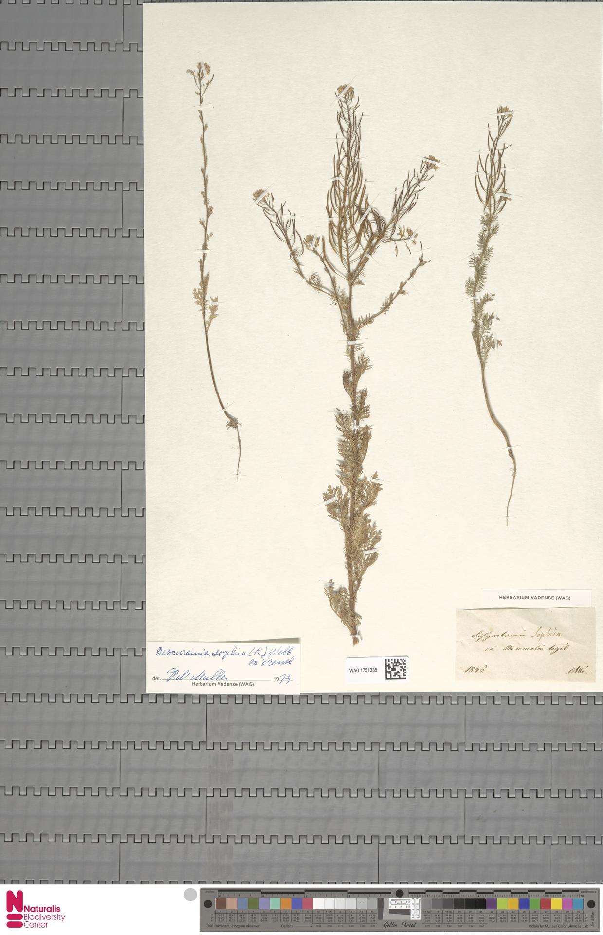 WAG.1751335 | Descurainia sophia (L.) Webb ex Prantl