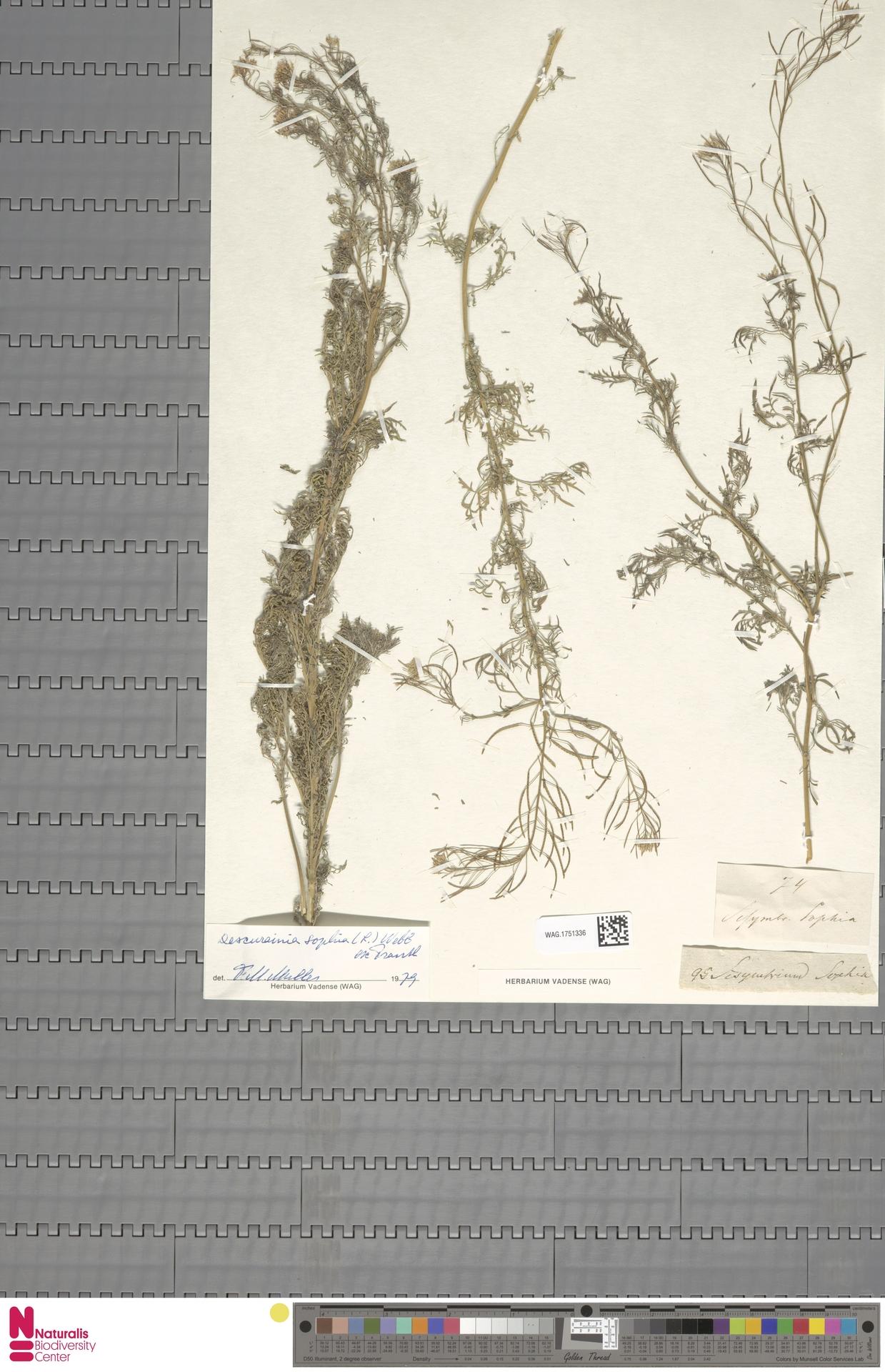 WAG.1751336 | Descurainia sophia (L.) Webb ex Prantl