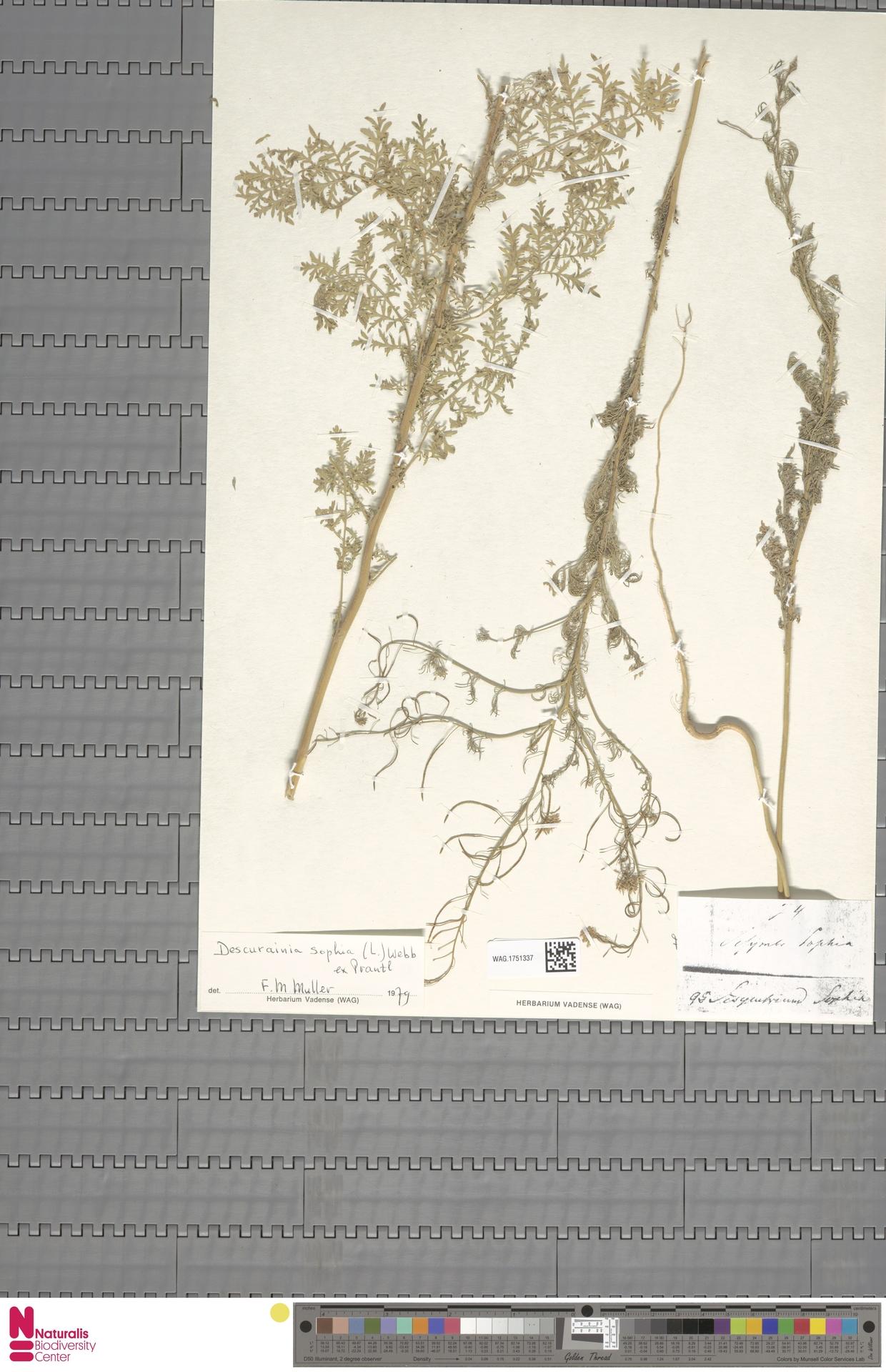 WAG.1751337 | Descurainia sophia (L.) Webb ex Prantl