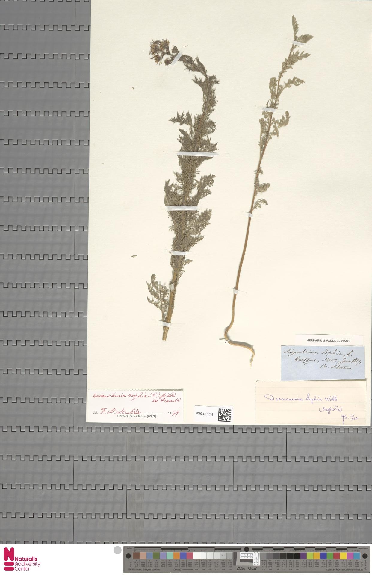 WAG.1751339 | Descurainia sophia (L.) Webb ex Prantl
