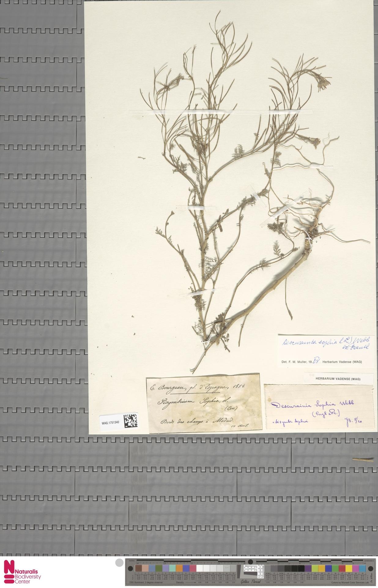WAG.1751340 | Descurainia sophia (L.) Webb ex Prantl