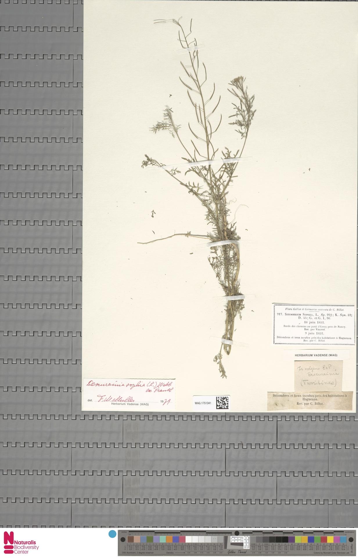 WAG.1751341 | Descurainia sophia (L.) Webb ex Prantl