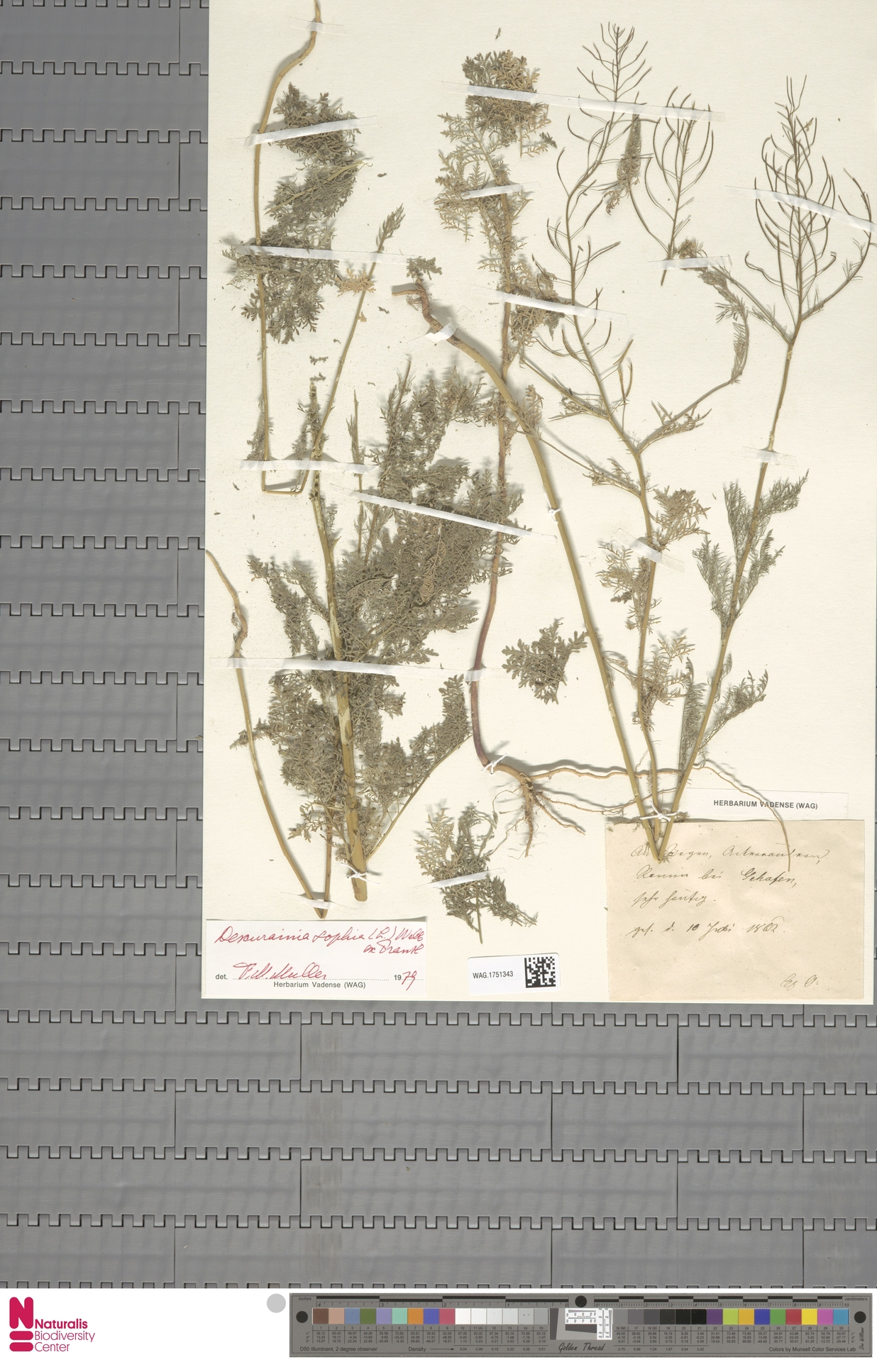 WAG.1751343 | Descurainia sophia (L.) Webb ex Prantl