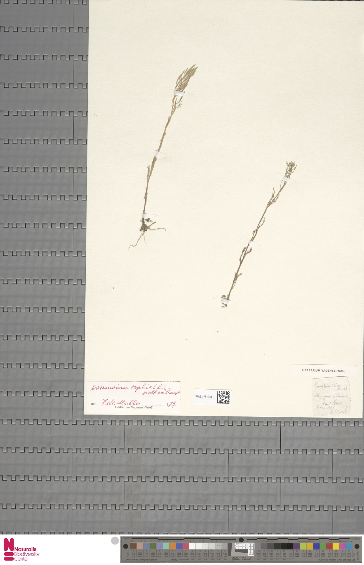 WAG.1751344 | Descurainia sophia (L.) Webb ex Prantl
