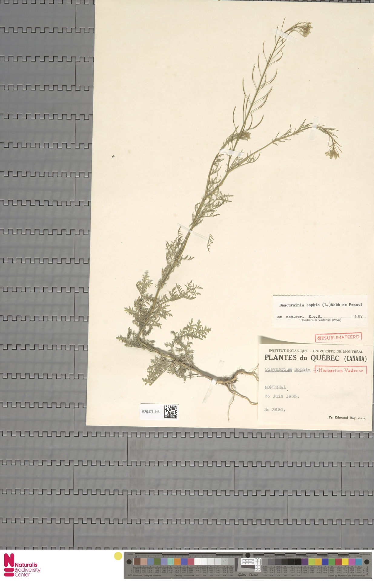 WAG.1751347 | Descurainia sophia (L.) Webb ex Prantl