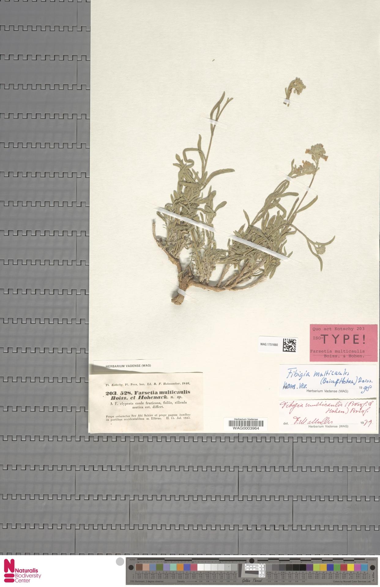 WAG.1751660 | Fibigia multicaulis (Boiss. & Hohen.) Boiss.