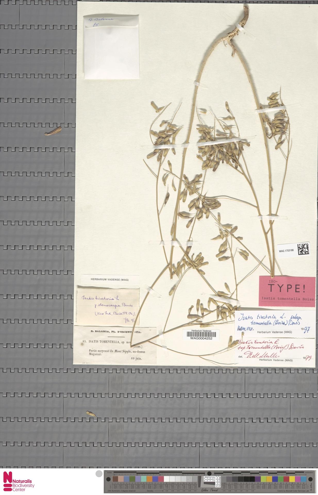 WAG.1753186 | Isatis tinctoria subsp. tomentella (Boiss.) Davis