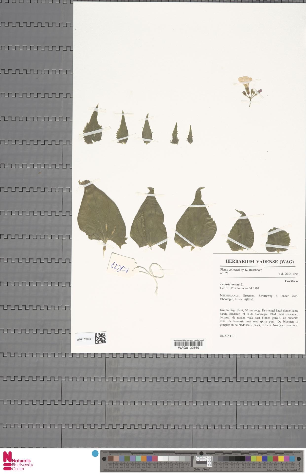WAG.1753315 | Lunaria annua L.