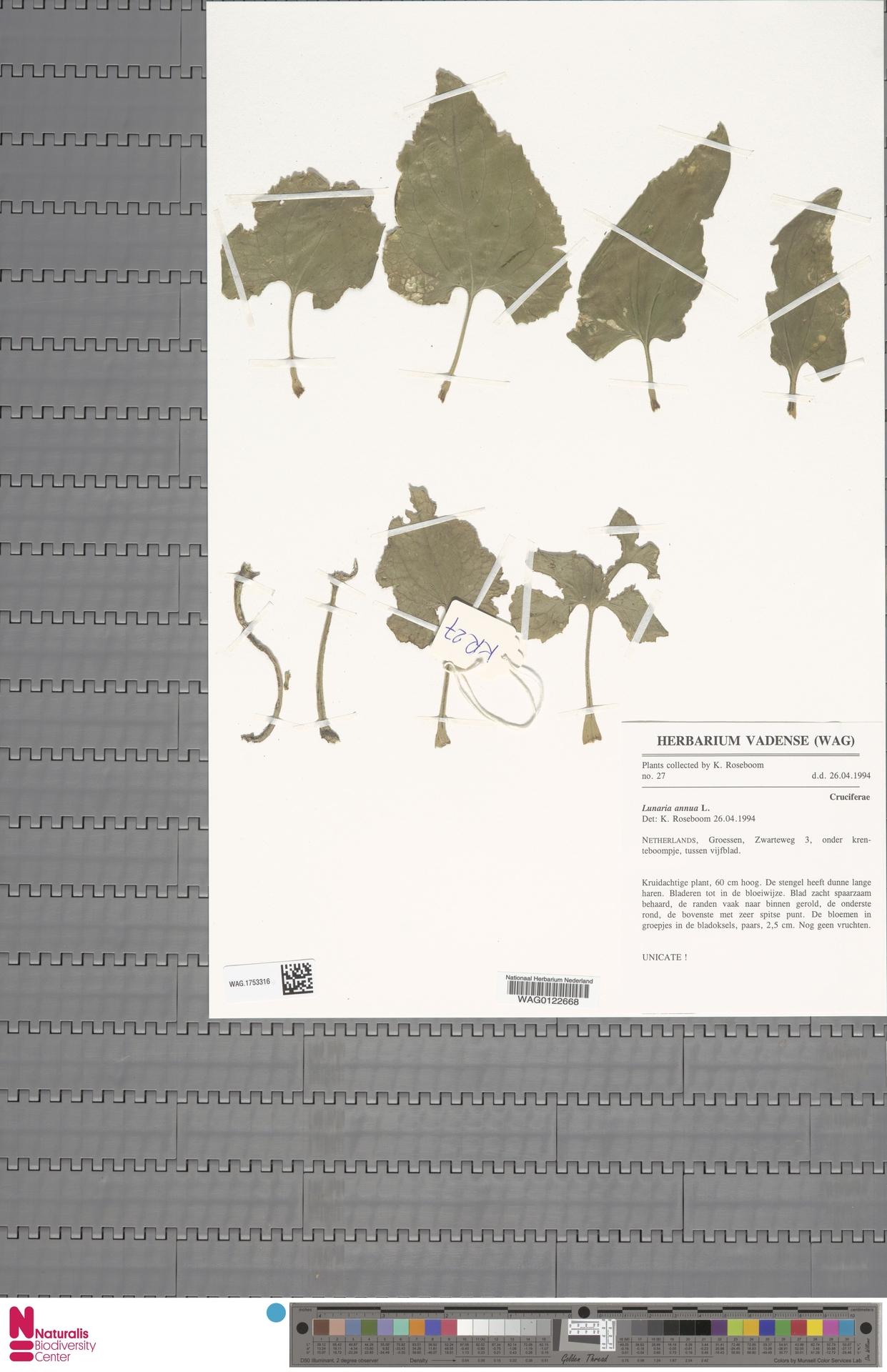WAG.1753316 | Lunaria annua L.