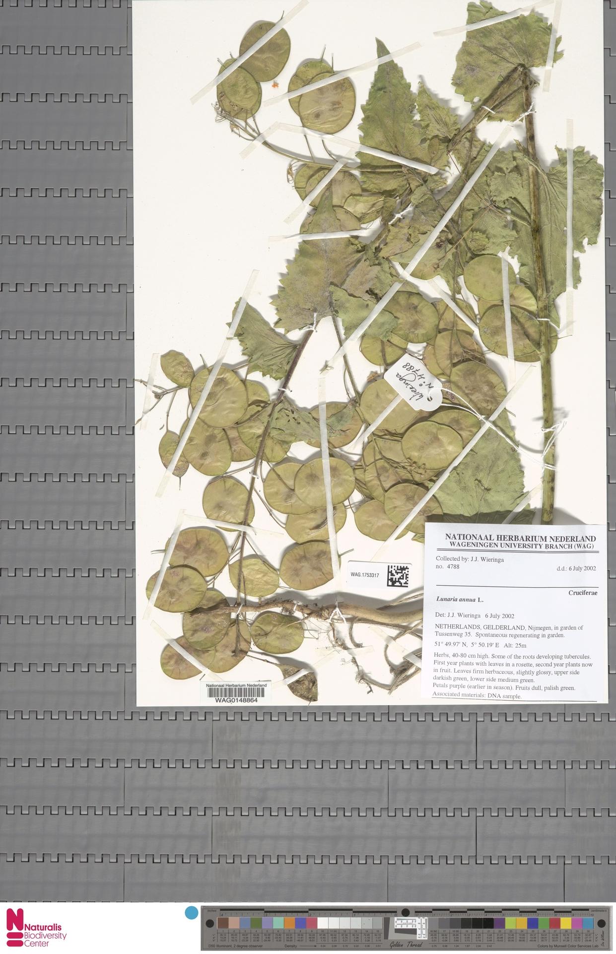 WAG.1753317 | Lunaria annua L.