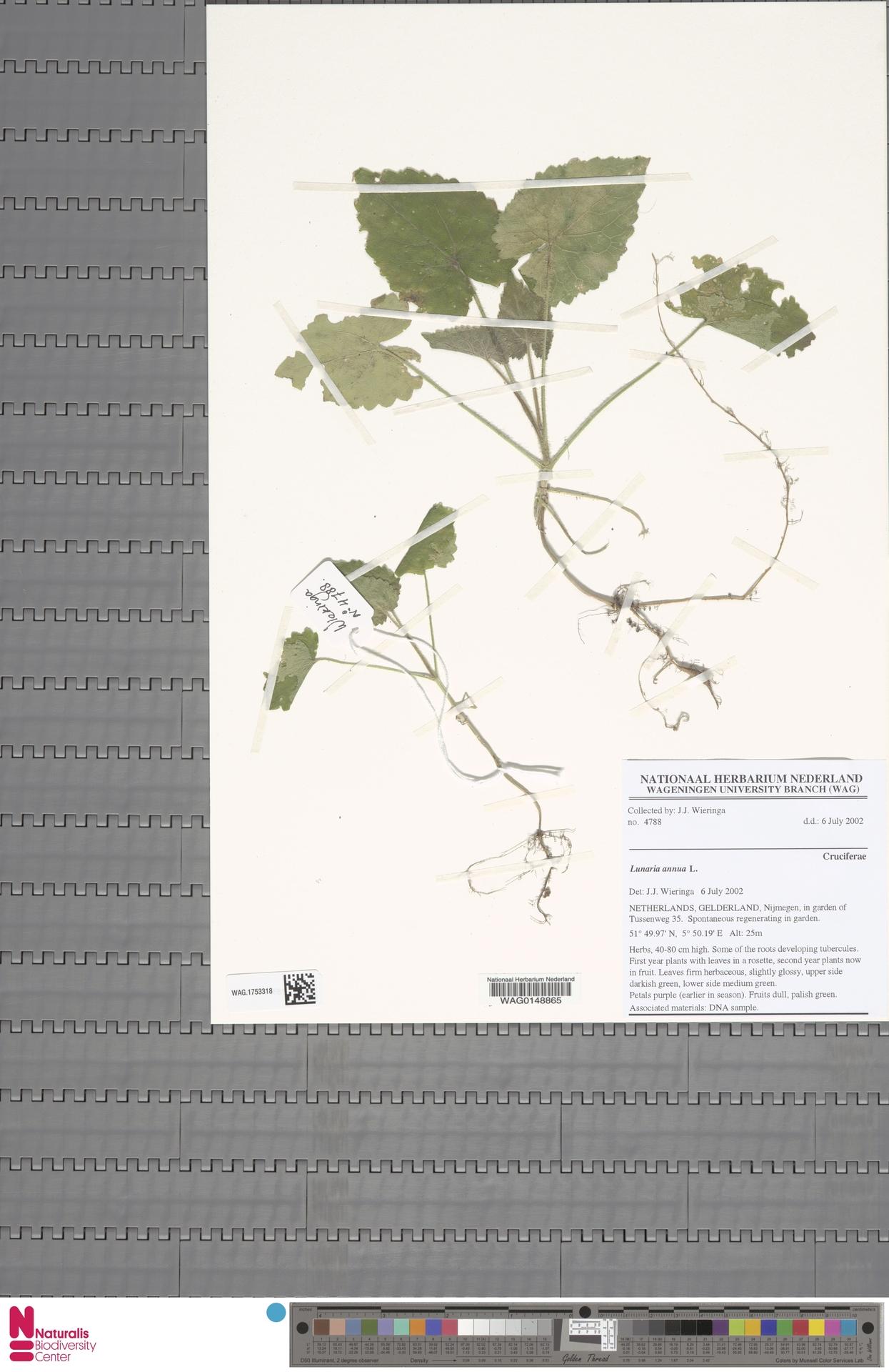 WAG.1753318 | Lunaria annua L.