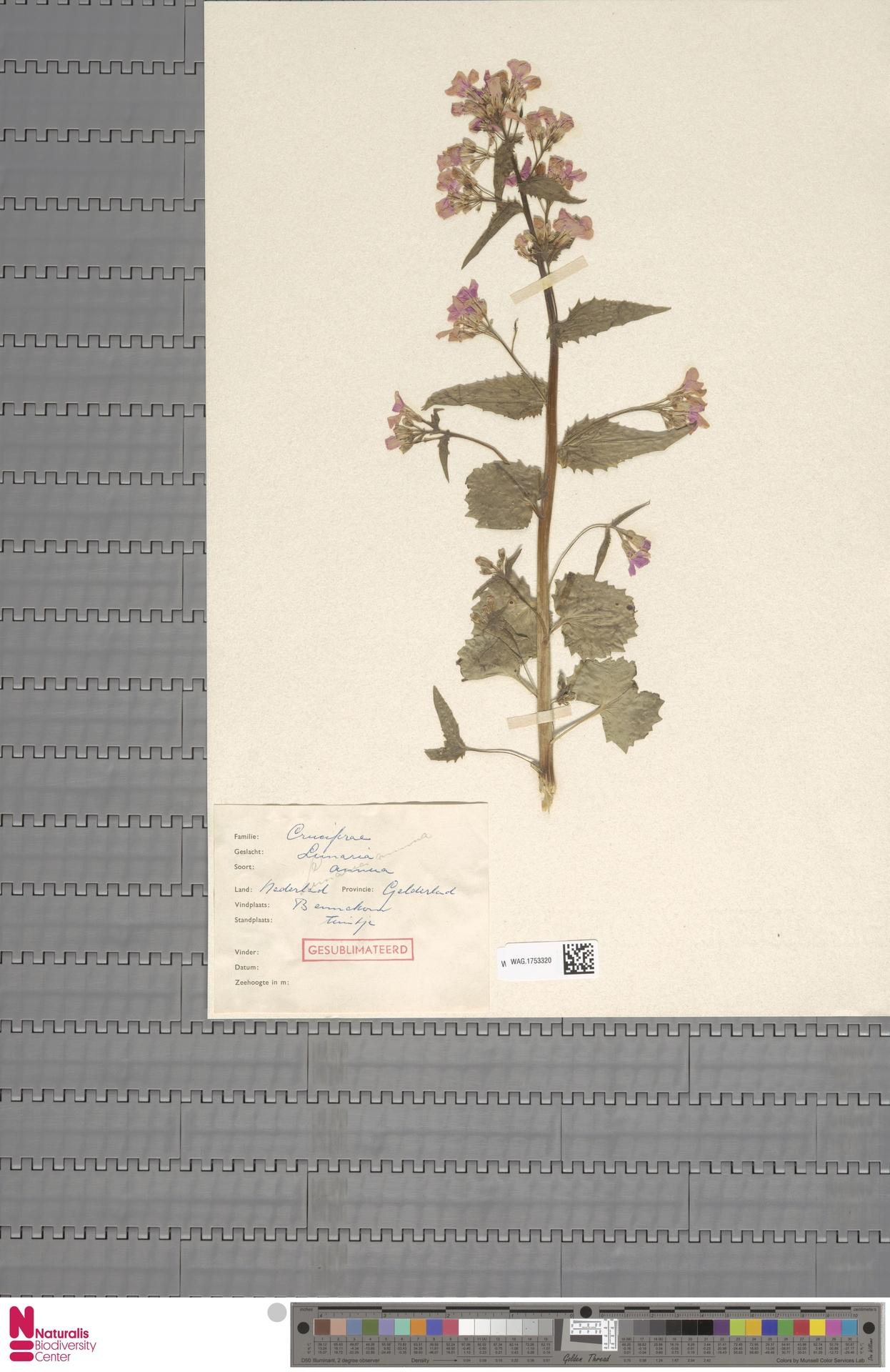 WAG.1753320 | Lunaria annua L.