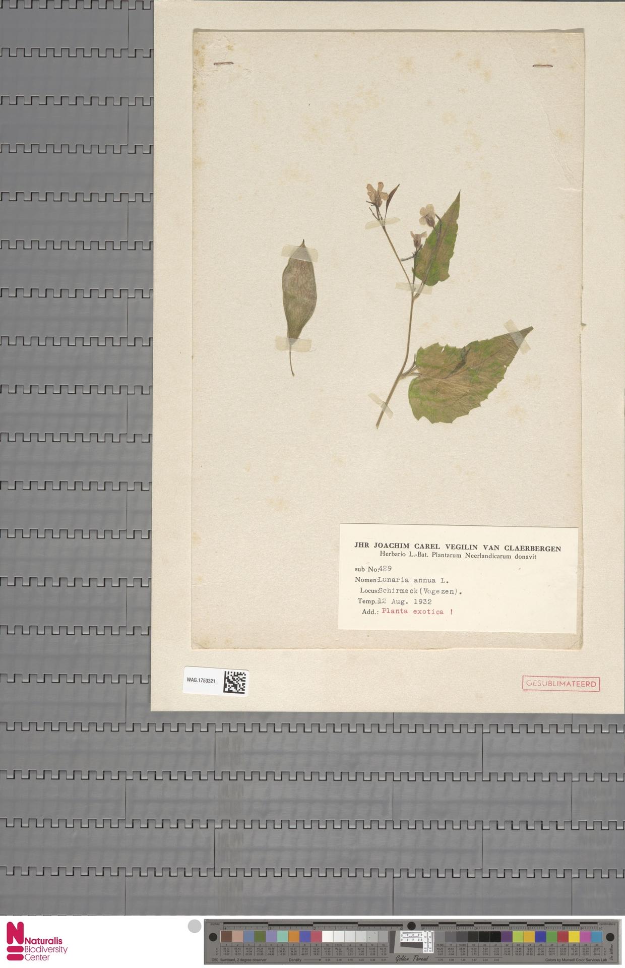 WAG.1753321 | Lunaria annua L.