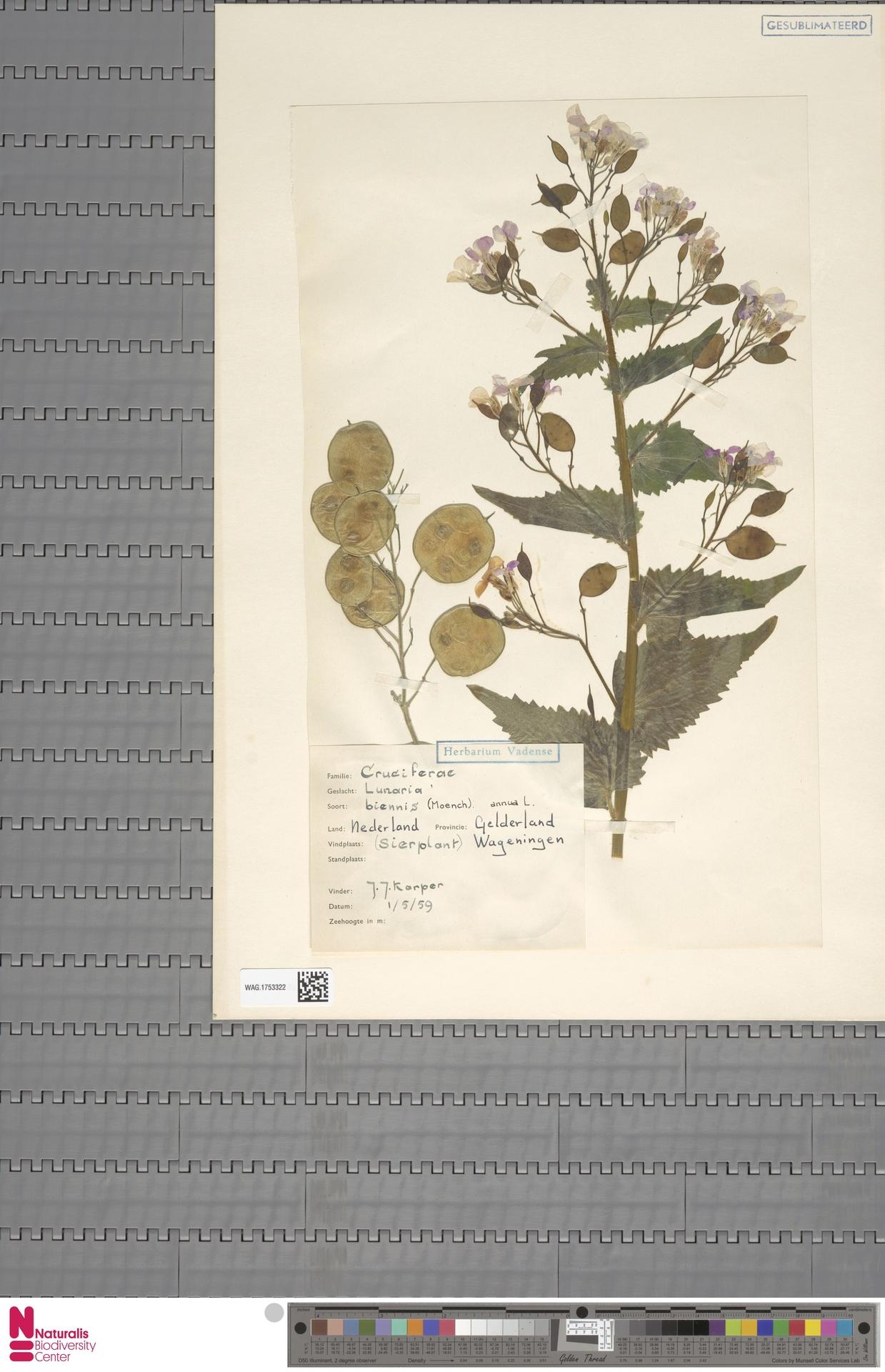 WAG.1753322 | Lunaria annua L.