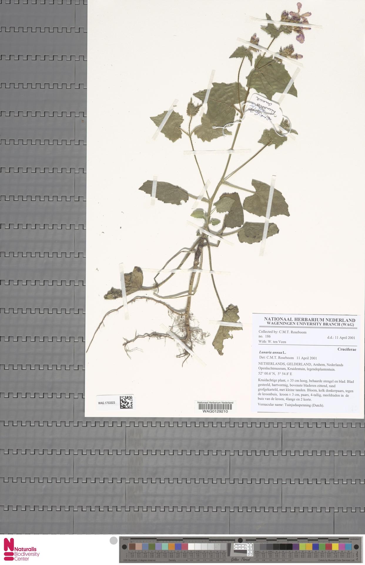 WAG.1753323 | Lunaria annua L.