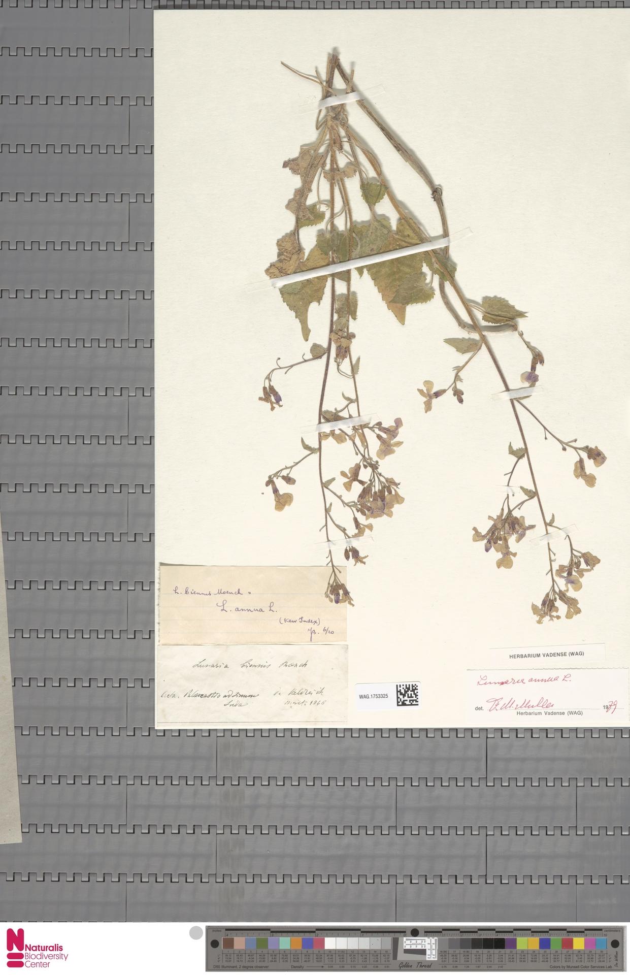 WAG.1753325   Lunaria annua L.
