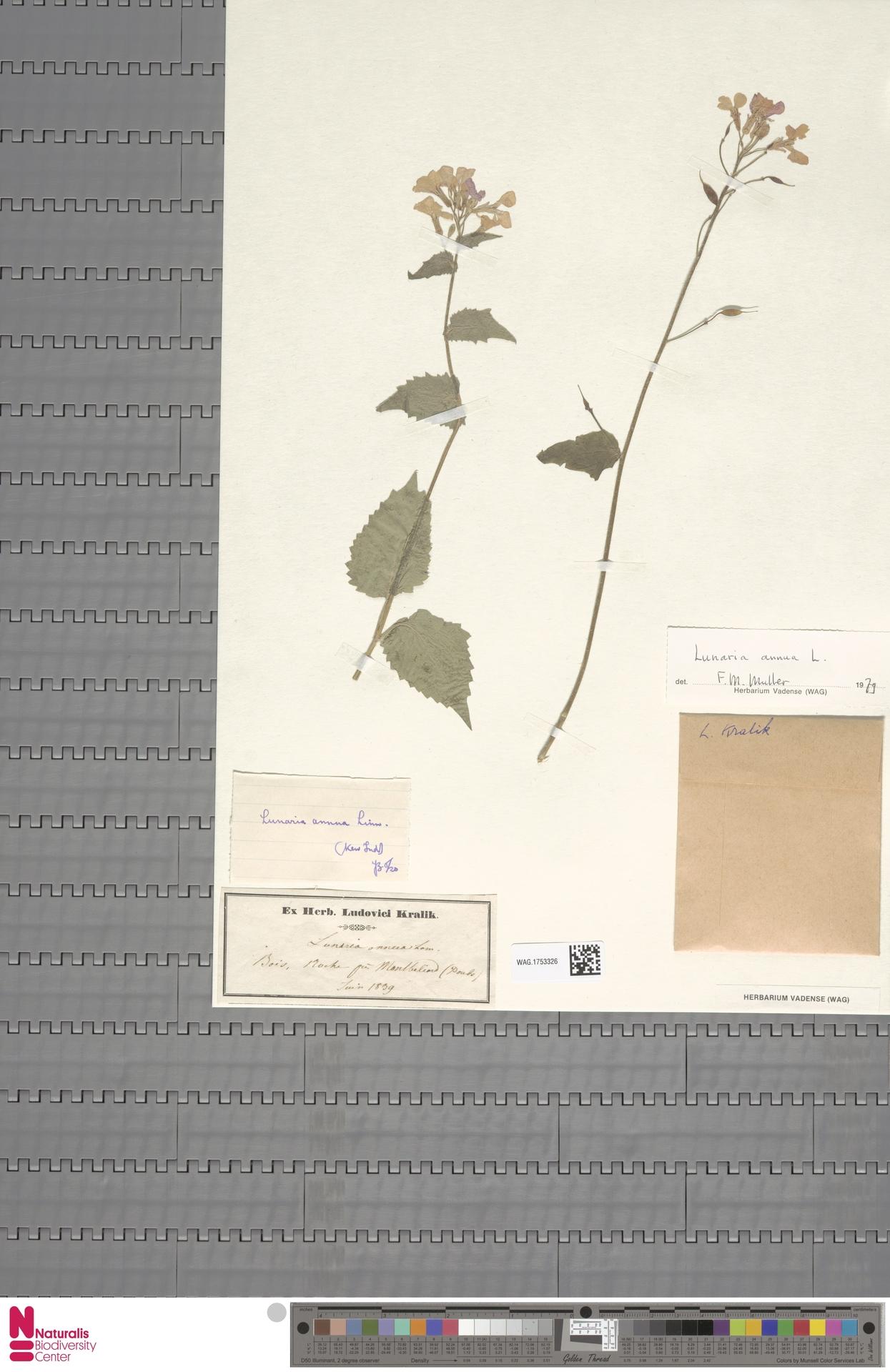 WAG.1753326 | Lunaria annua L.
