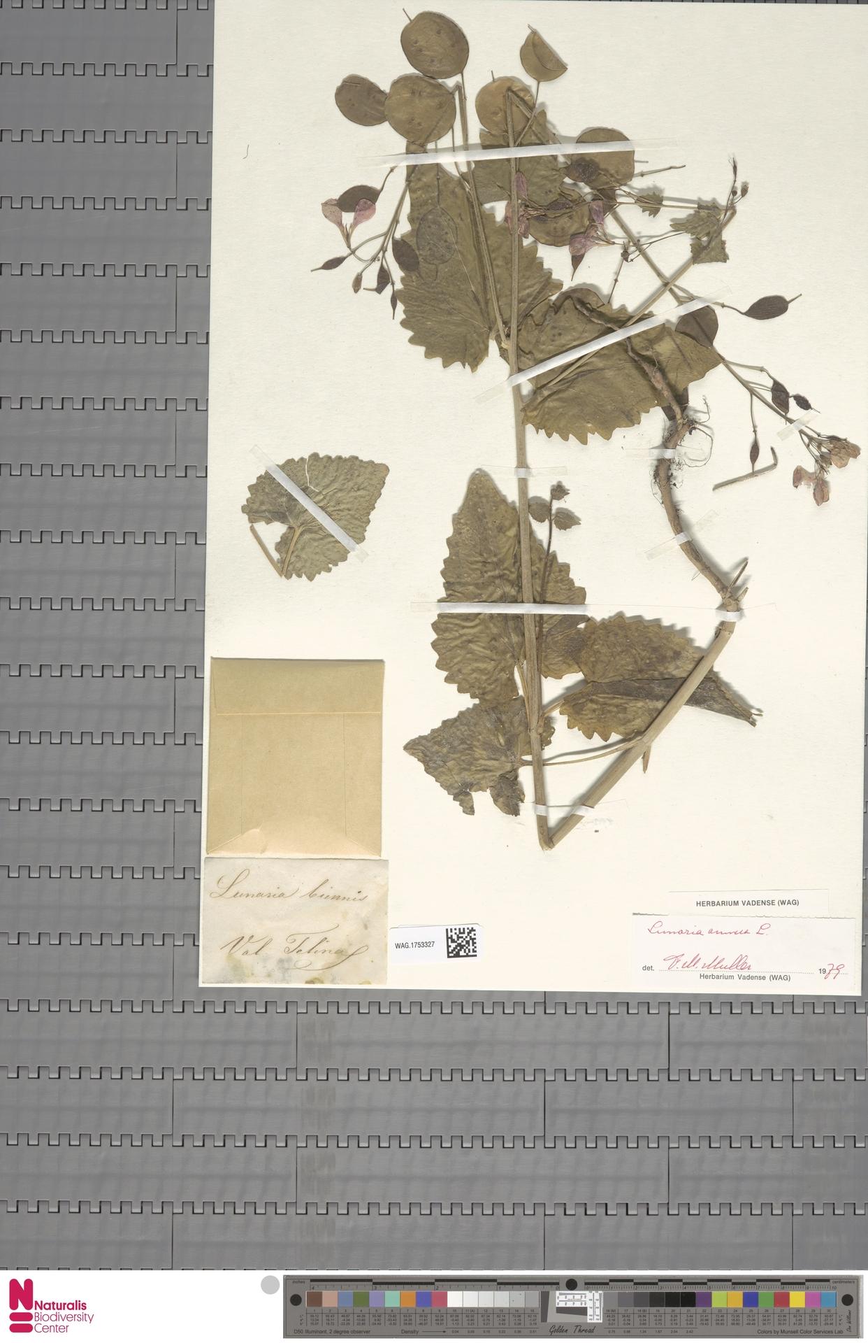 WAG.1753327 | Lunaria annua L.