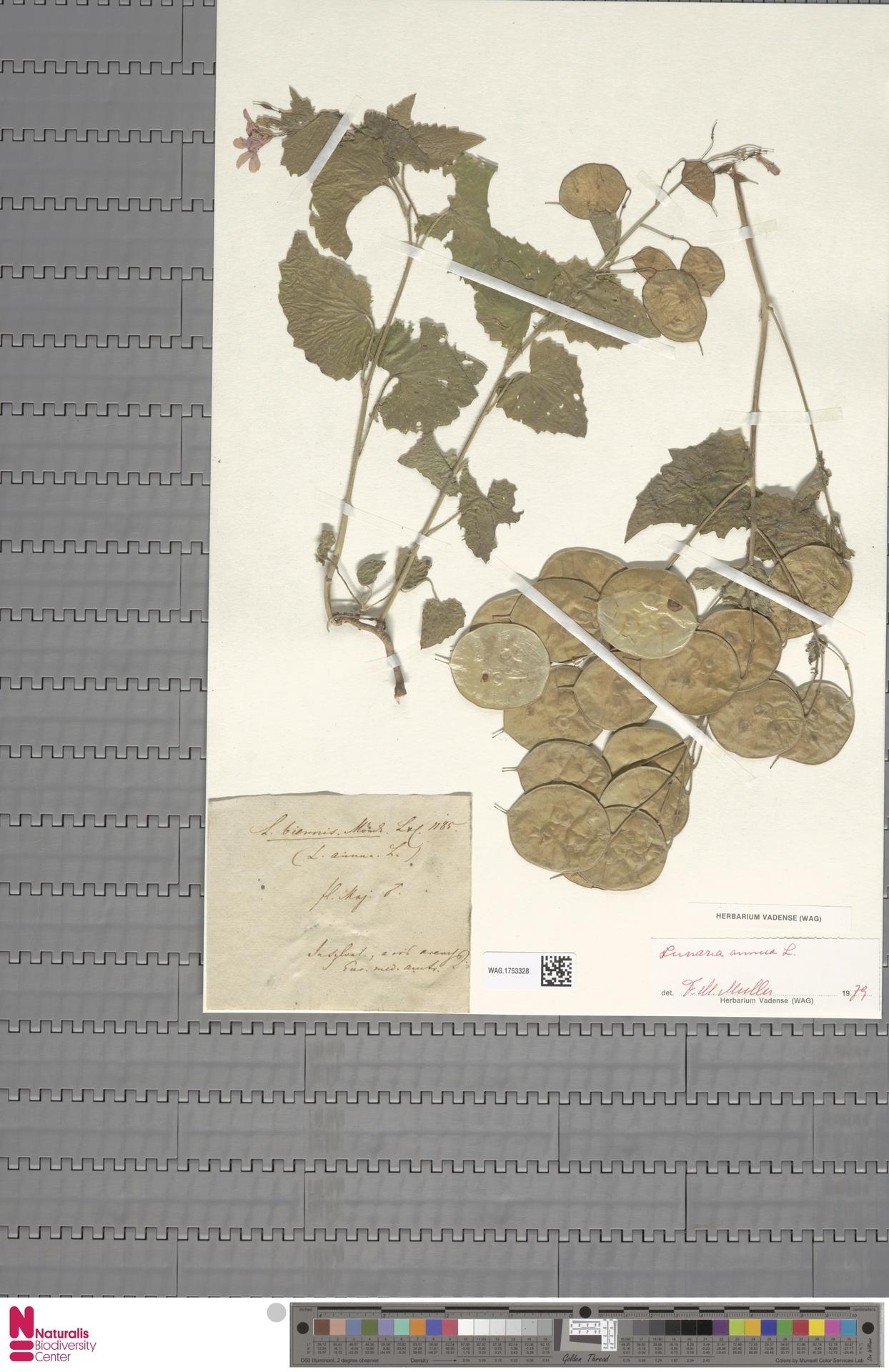 WAG.1753328 | Lunaria annua L.