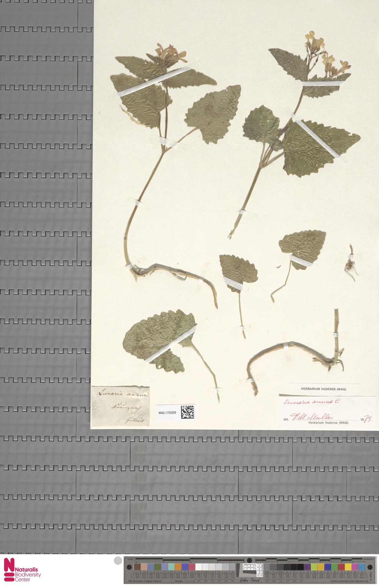 WAG.1753329 | Lunaria annua L.
