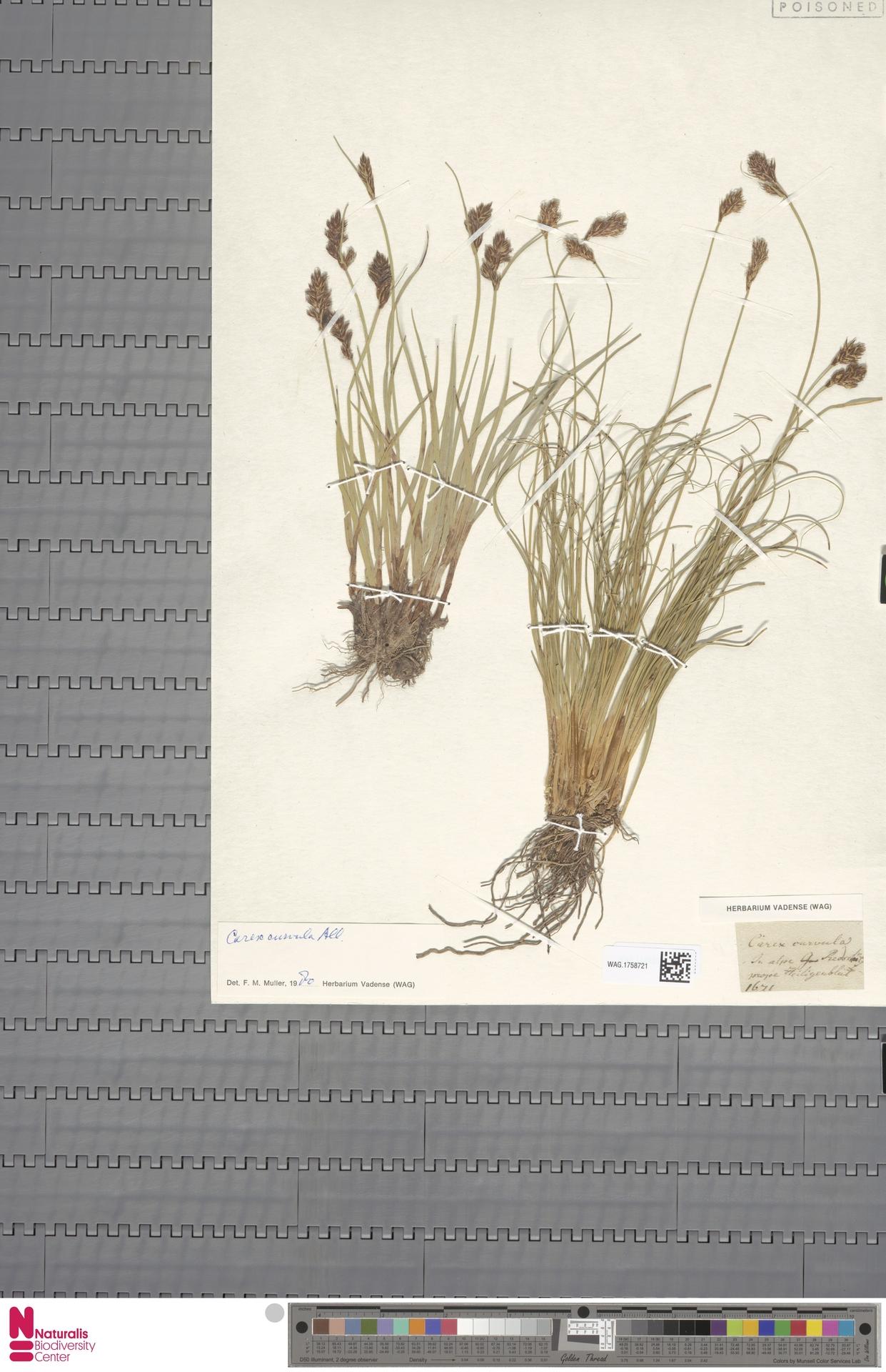 WAG.1758721 | Carex curvula All.