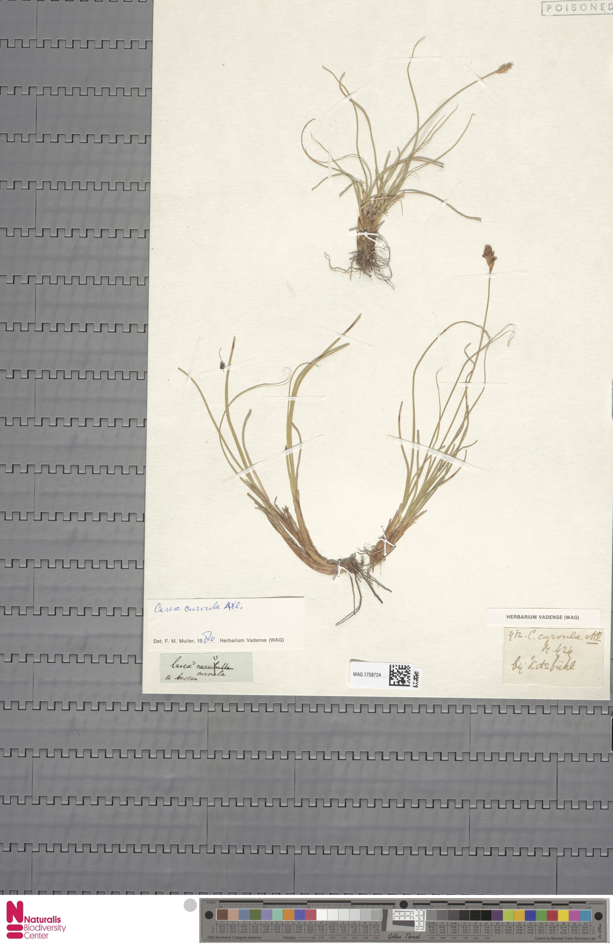 WAG.1758724 | Carex curvula All.