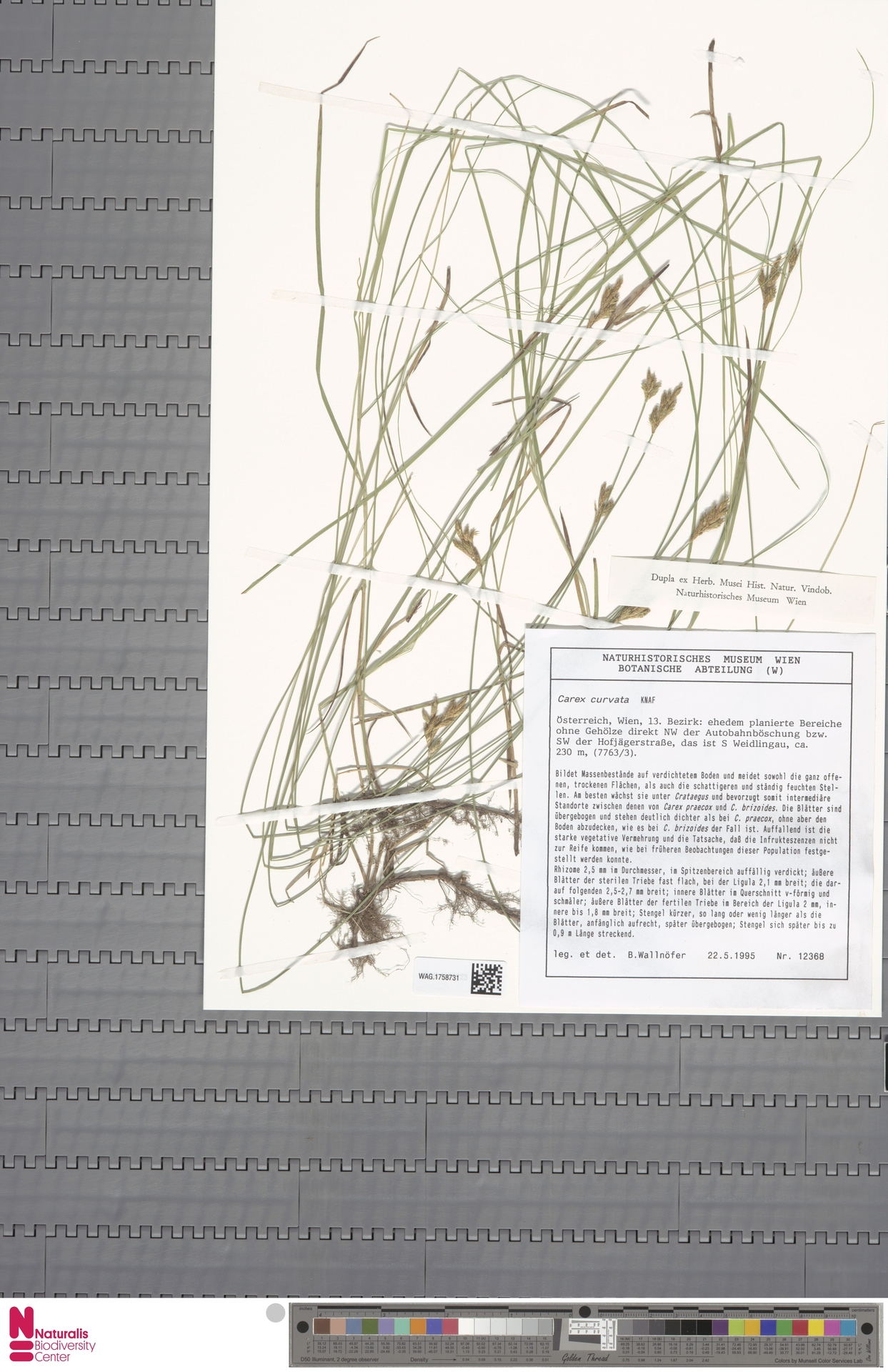 WAG.1758731   Carex curvula All.