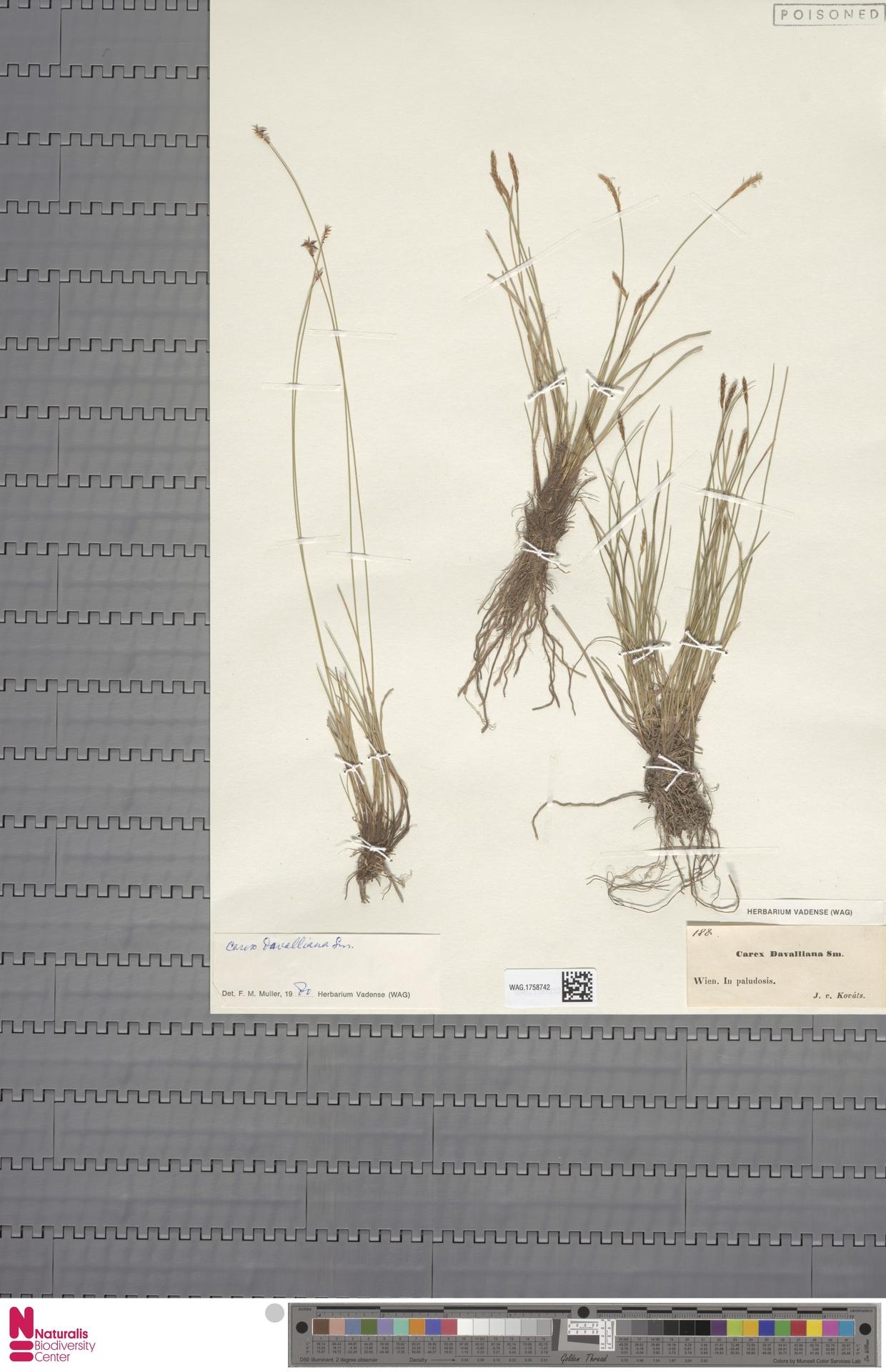 WAG.1758742 | Carex davalliana Sm.